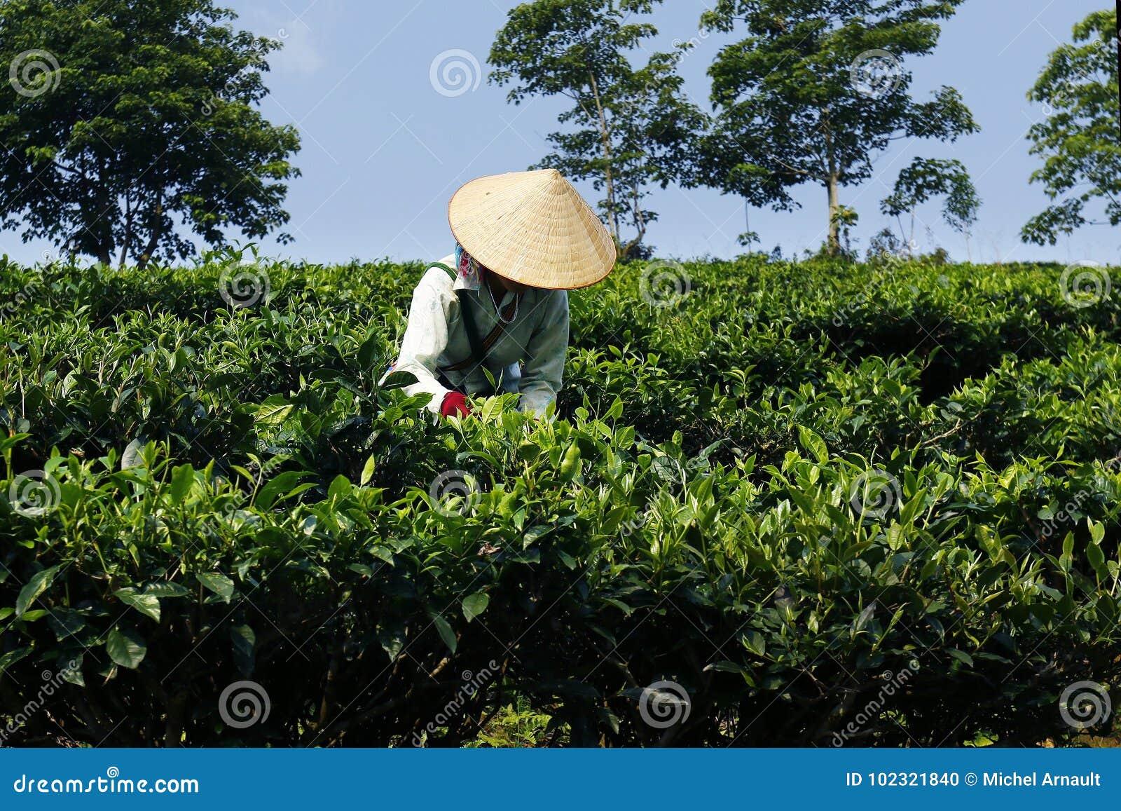 Εργαζόμενος στη φυτεία τσαγιού