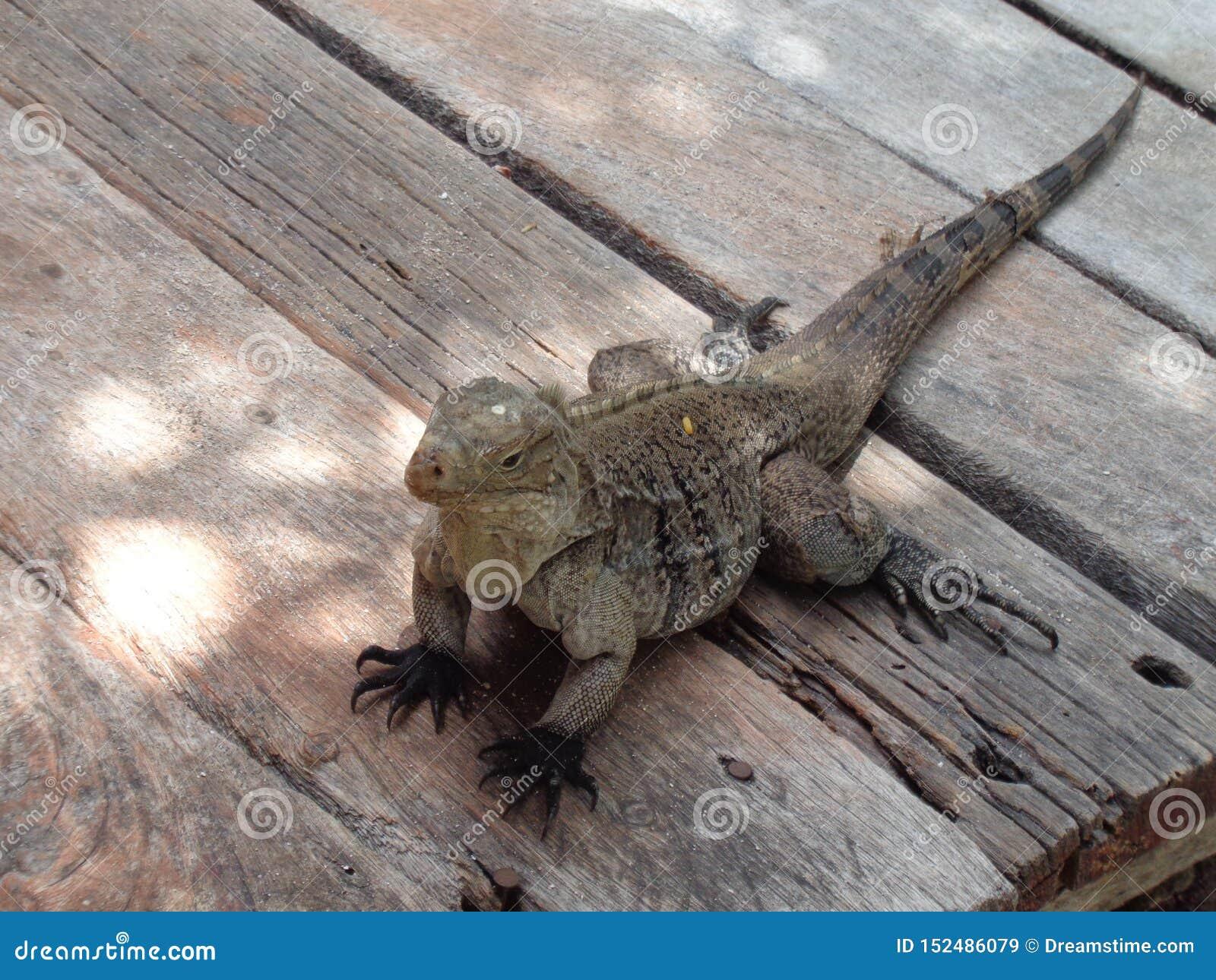 Ερπετό Iguana τροπικό