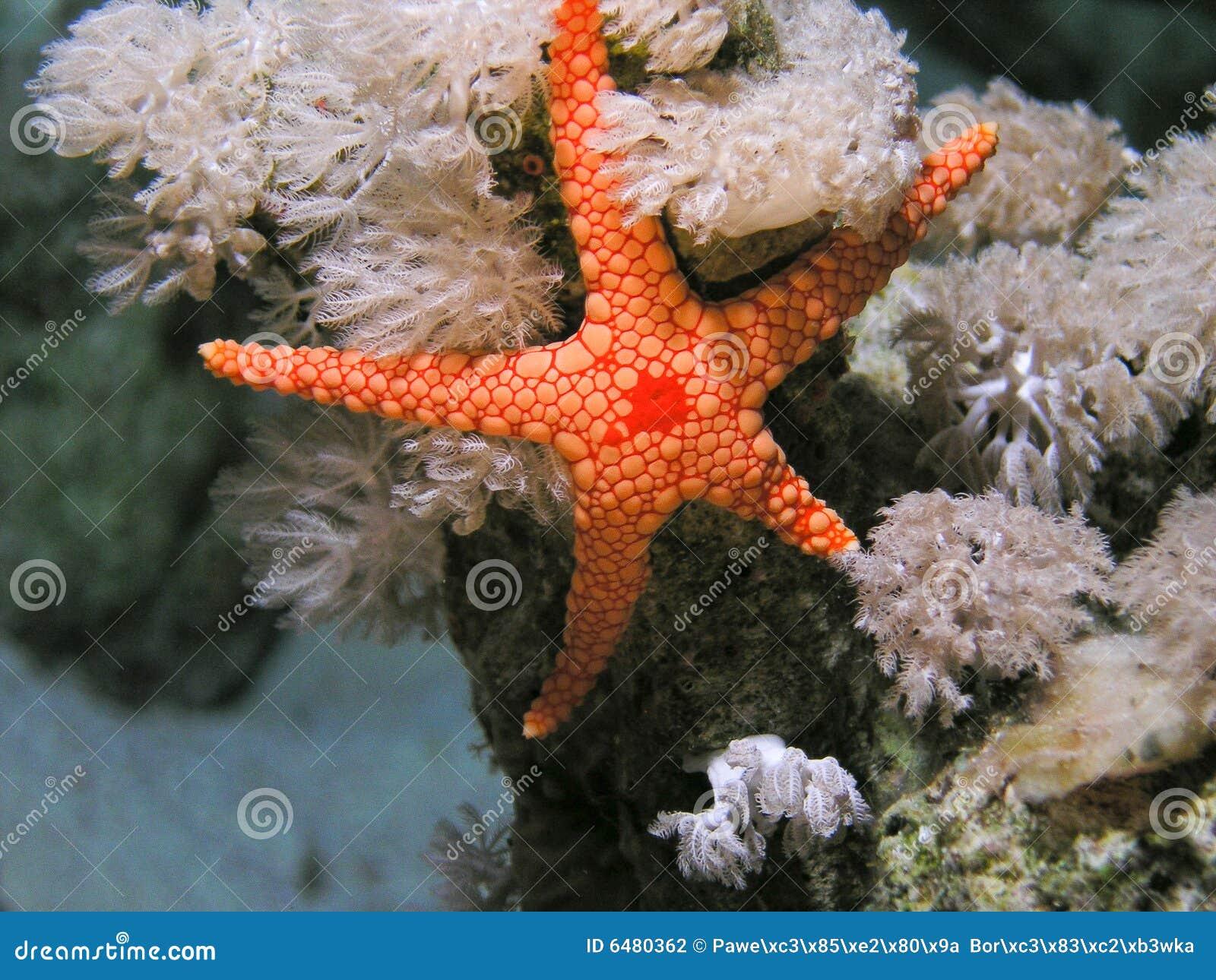 Ερυθρά Θάλασσα ψαριών seastar