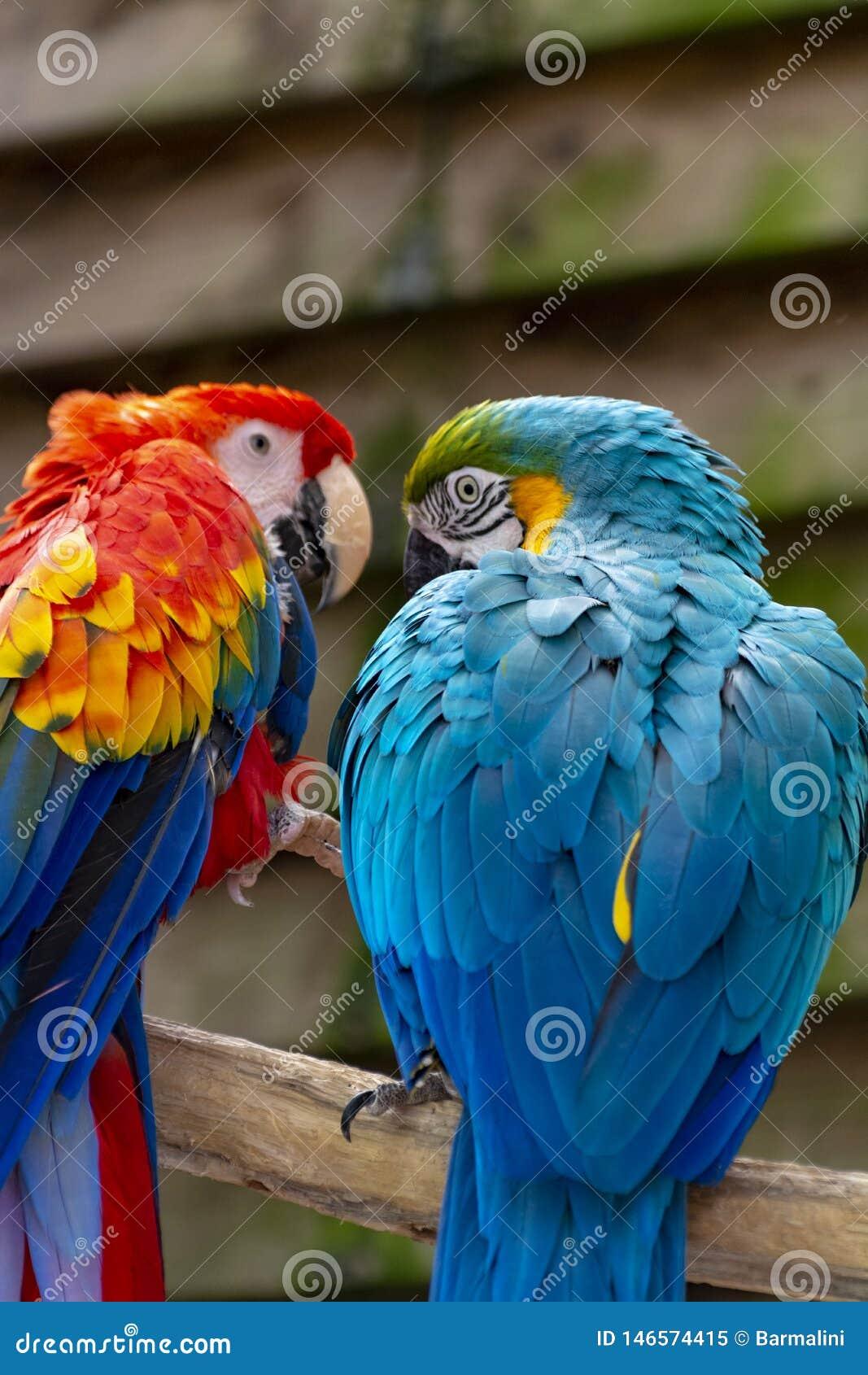 Ερυθροί και μπλε-και-κίτρινοι παπαγάλοι Macaw, με μακριά ουρά ζωηρόχρωμα εξωτικά πουλιά