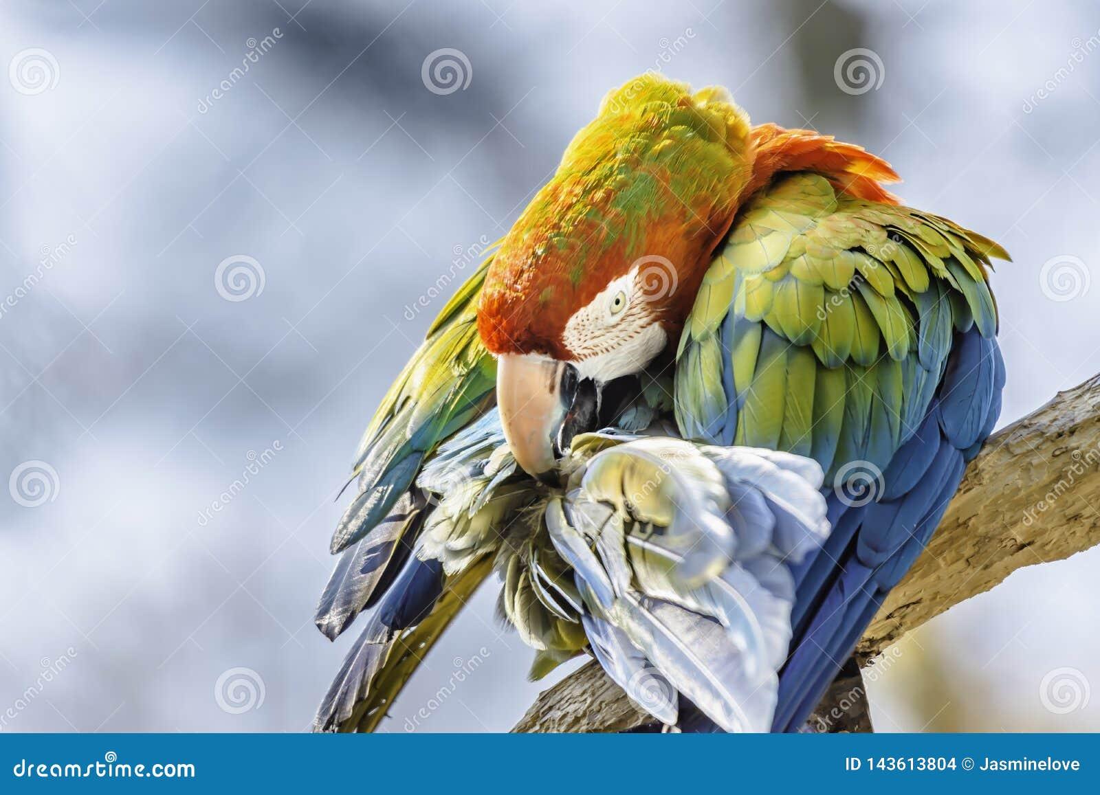 Ερυθρός παπαγάλος macaw που σκαρφαλώνει στον κλάδο και που καθαρίζει τα φτερά του Ζωηρόχρωμο πορτρέτο πουλιών