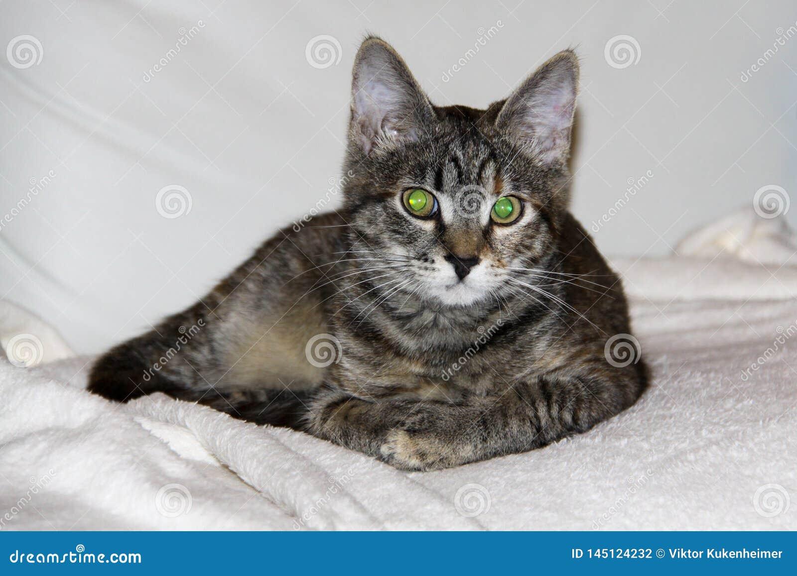 Εσωτερική γάτα με τα μεγάλα πράσινα μάτια
