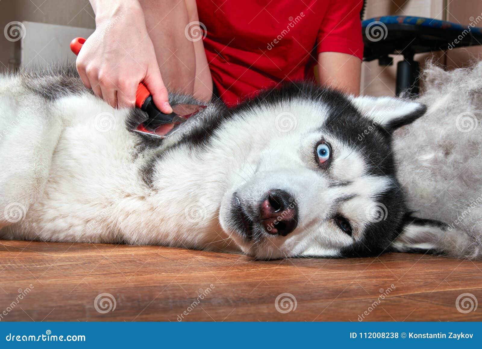 Ετήσιο molt έννοιας, παλτό που ρίχνει, κατοικίδια ζώα μαδήματος Καλλωπίζοντας σκυλί Undercoat Το αγόρι κτενίζει το μαλλί από σιβη