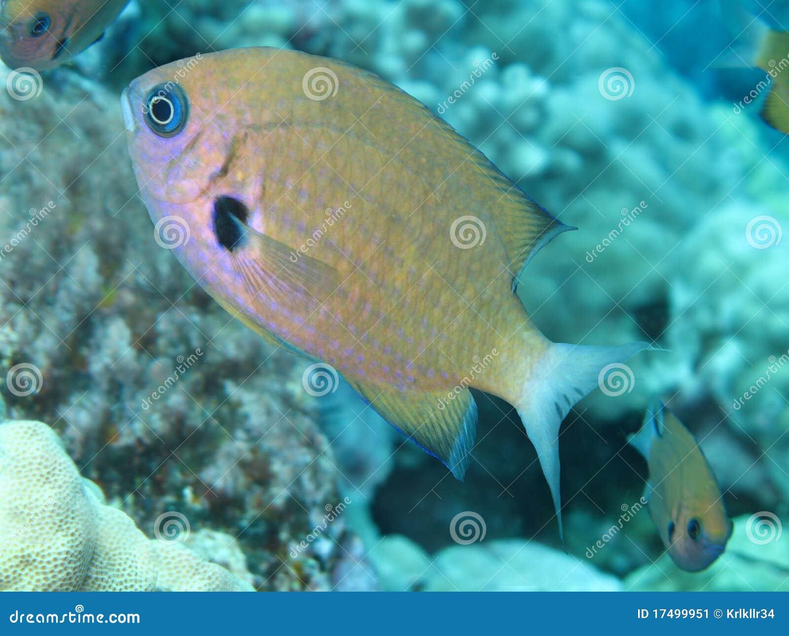 ευκίνητα chromis damselfish