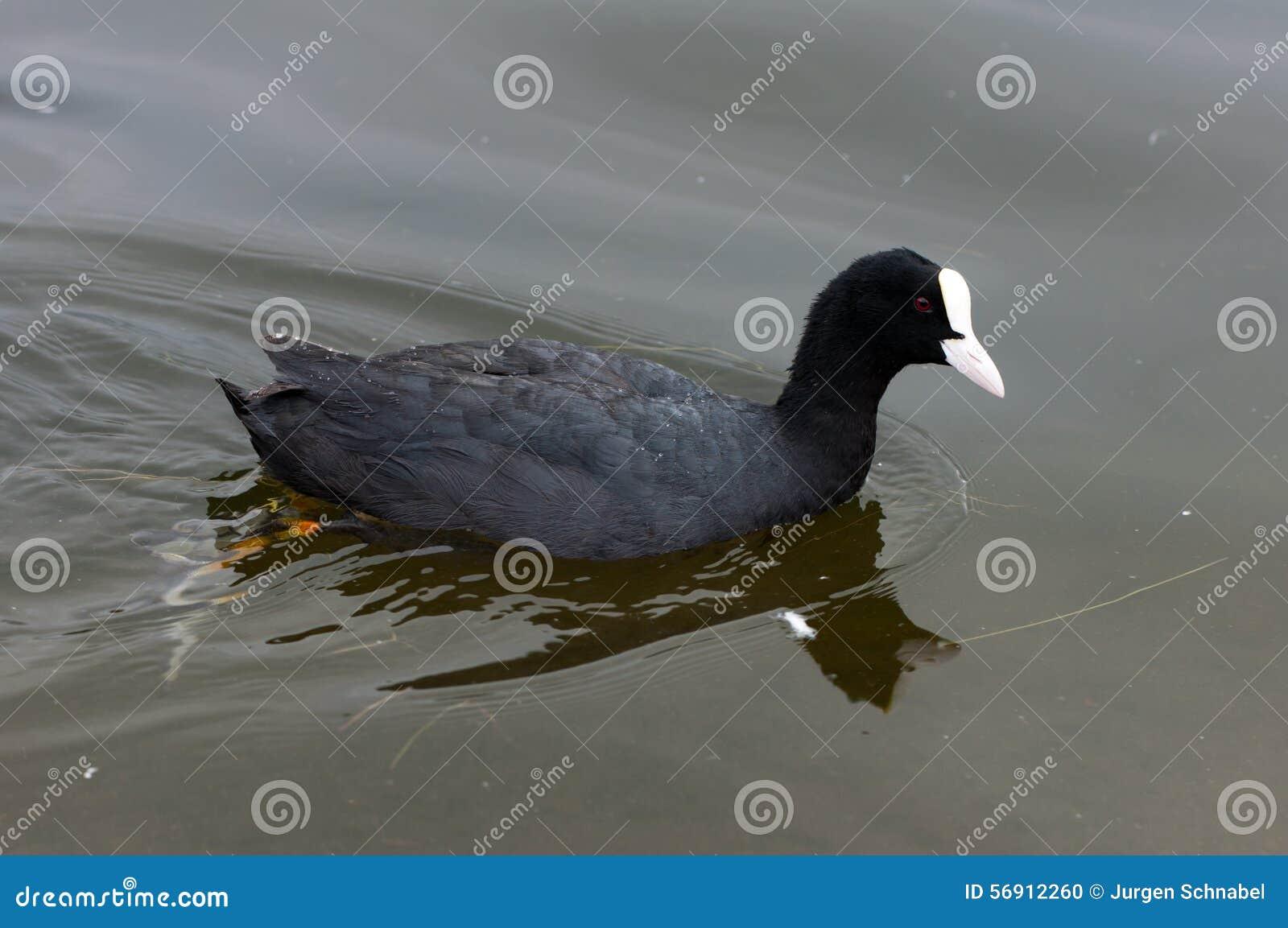 Ευρασιατική κολύμβηση φαλαρίδων