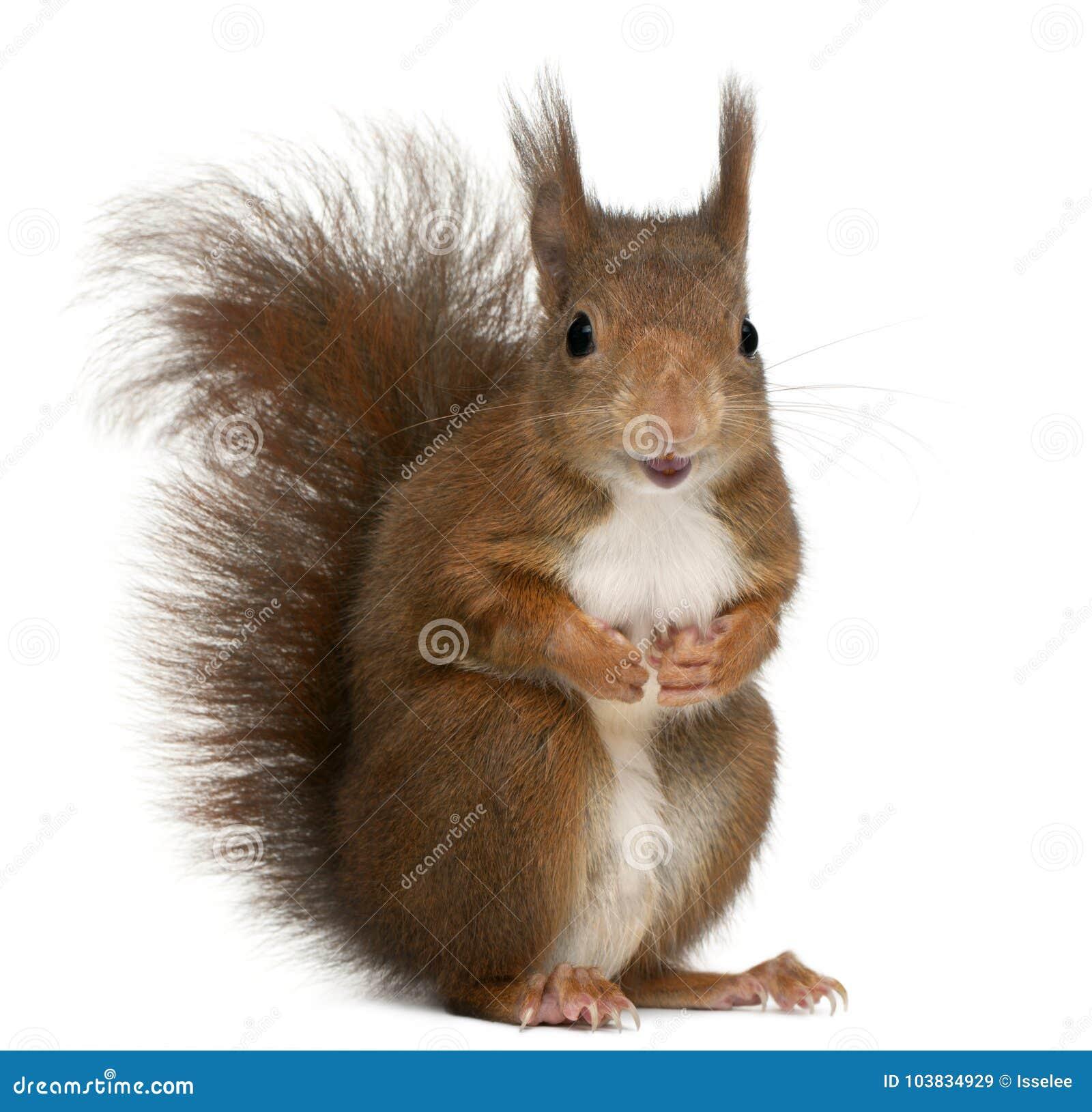Ευρασιατικός κόκκινος σκίουρος, Sciurus vulgaris, 4 χρονών, στο μπροστινό ο