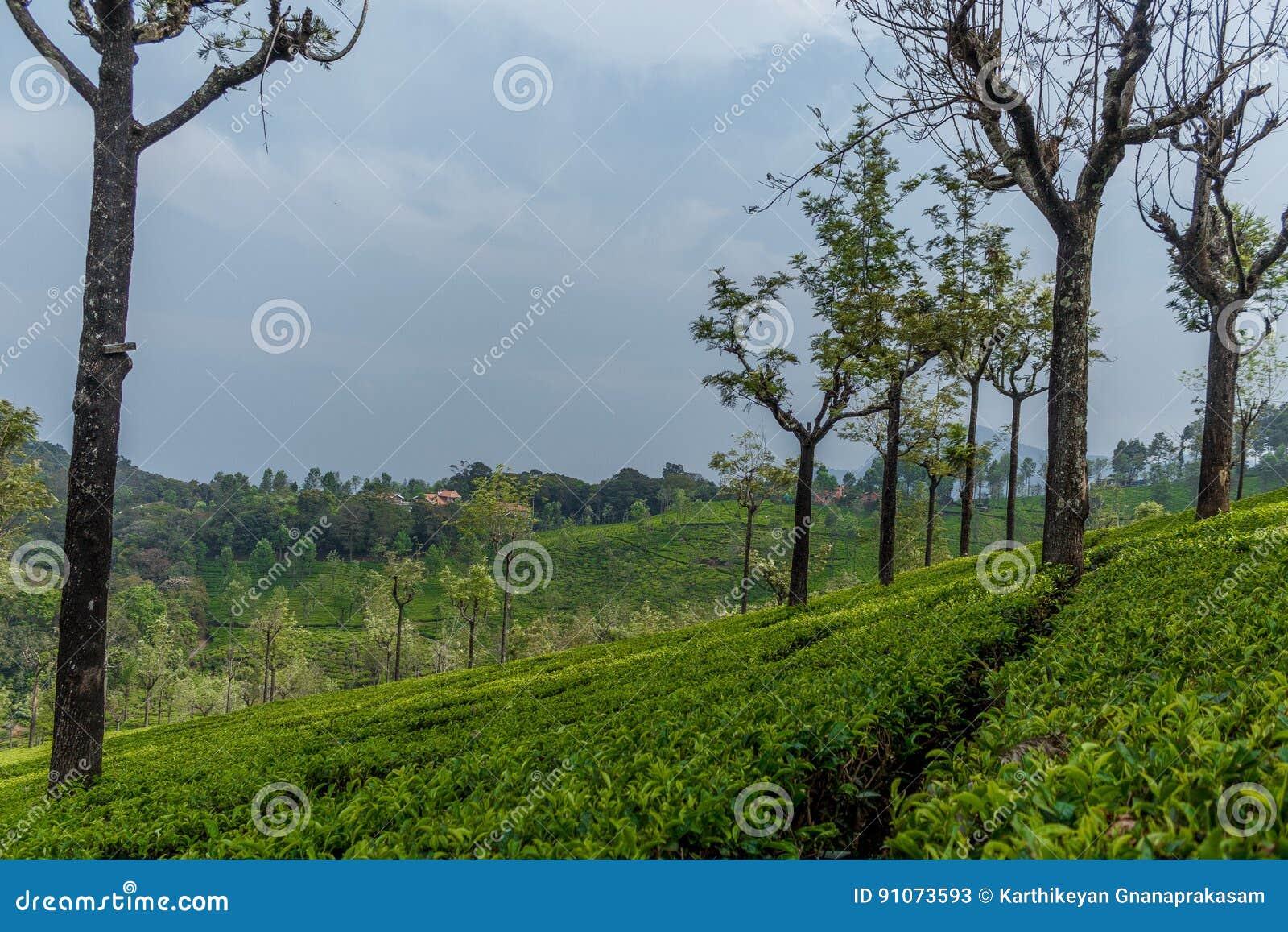 Ευρεία άποψη των πράσινων φυτειών δέντρων με τα δέντρα μέσα - μεταξύ, Ooty, Ινδία, στις 19 Αυγούστου 2016