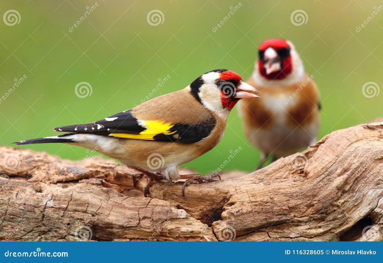 Ευρωπαϊκά carduelis Carduelis goldfinch