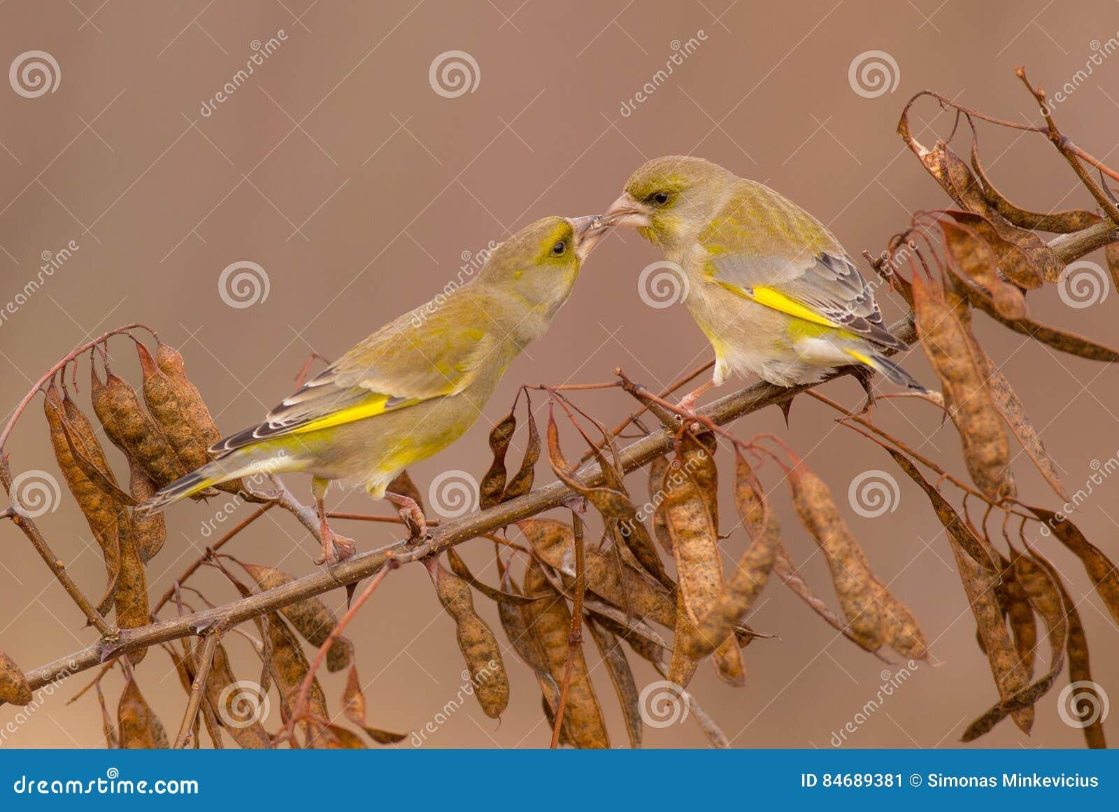 Ευρωπαϊκά chloris Greenfinch - Carduelis - αρσενικό