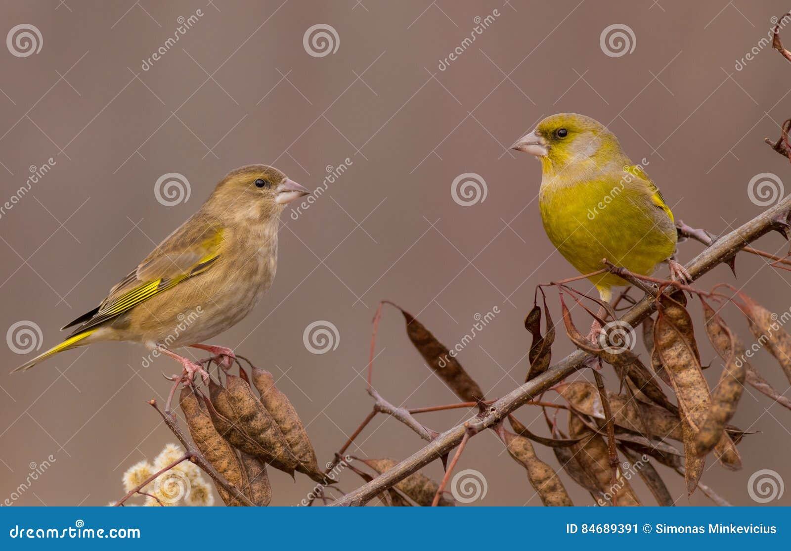 Ευρωπαϊκά chloris Greenfinch - Carduelis - ζευγάρι