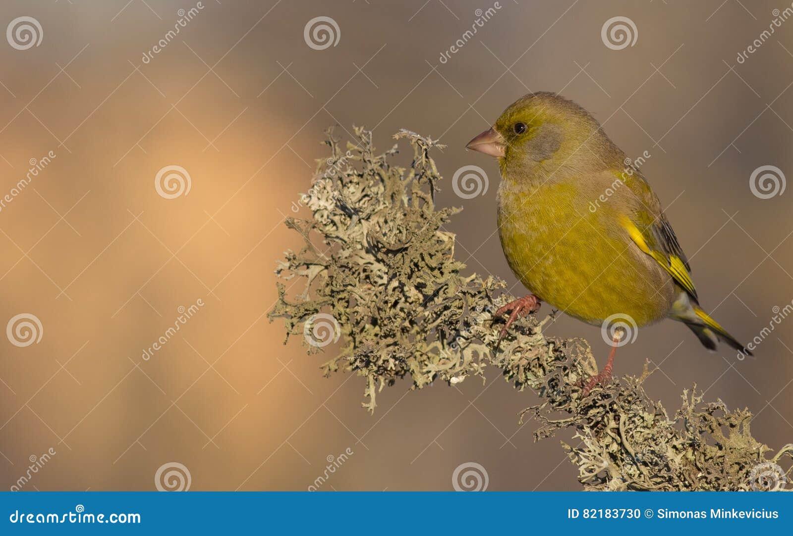 Ευρωπαϊκά chloris Greenfinch - Carduelis