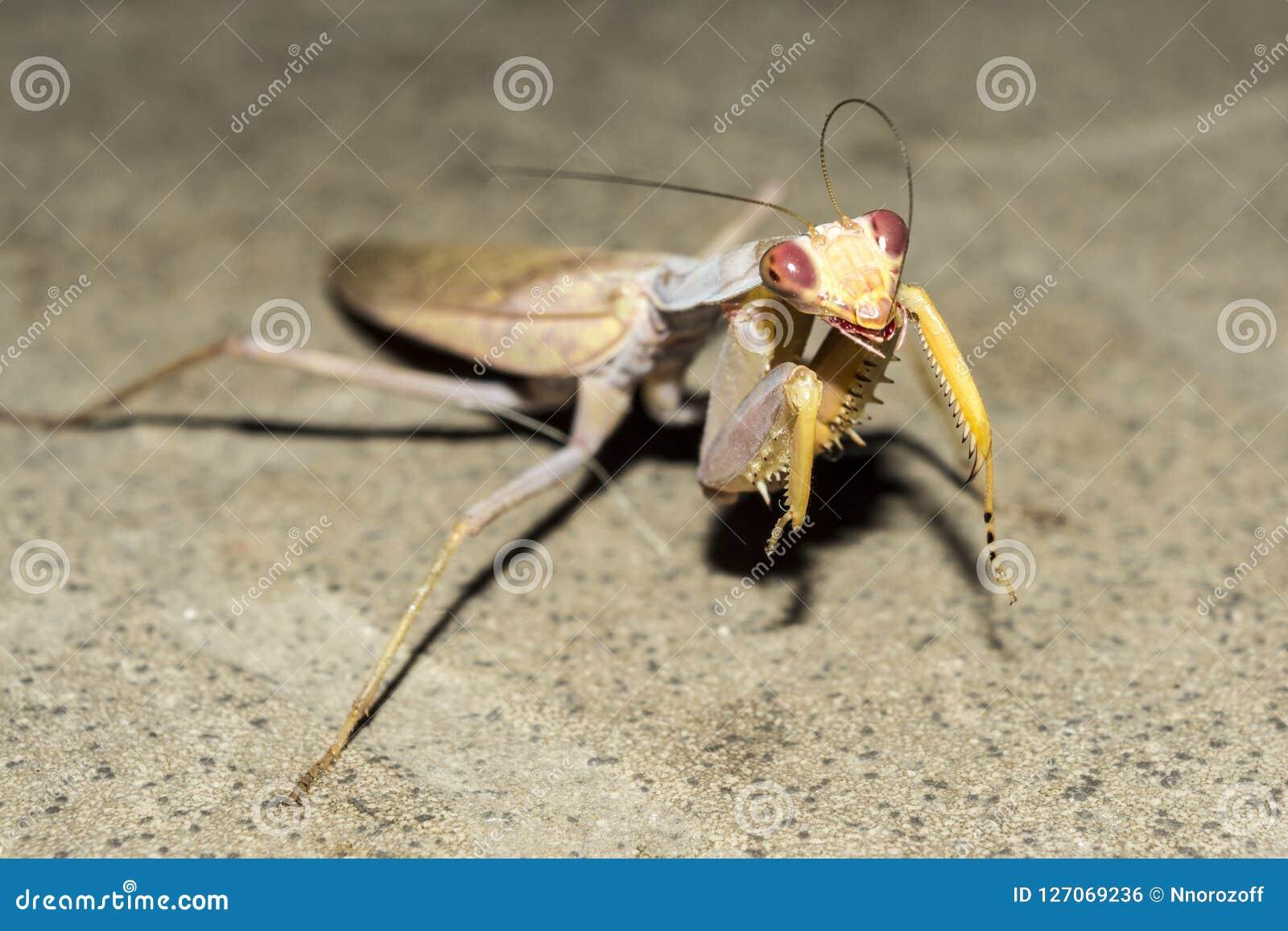 Ευρωπαϊκά mantis εντόμων τη νύχτα, άγριο υπόβαθρο φύσης κινηματογραφήσεων σε πρώτο πλάνο