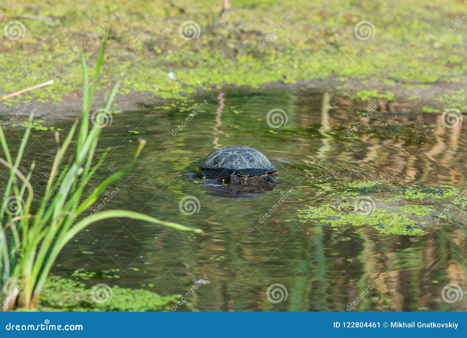 Ευρωπαϊκά orbicularis χελωνών ή Emys ελών