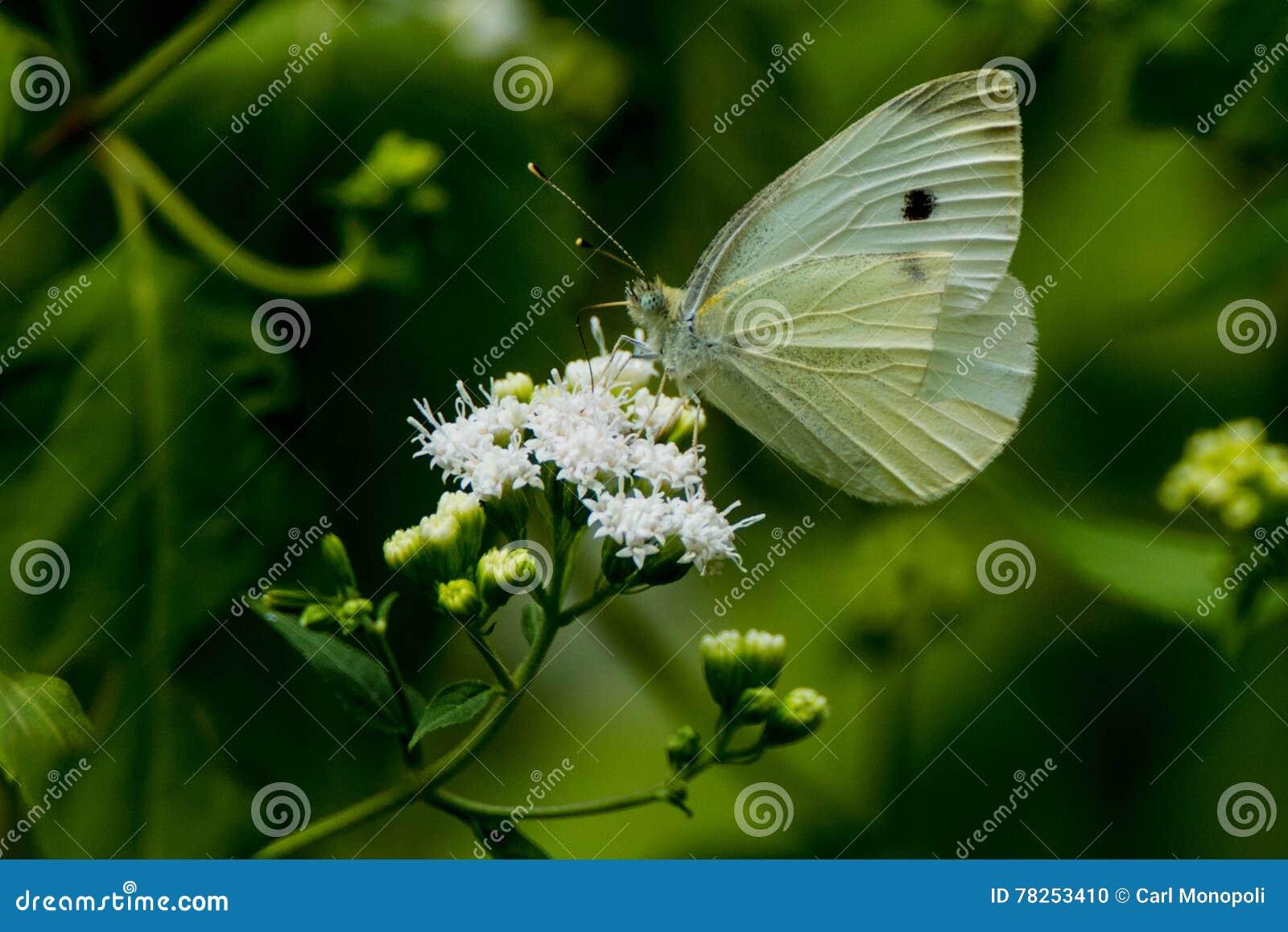 Ευρωπαϊκή πεταλούδα λάχανων