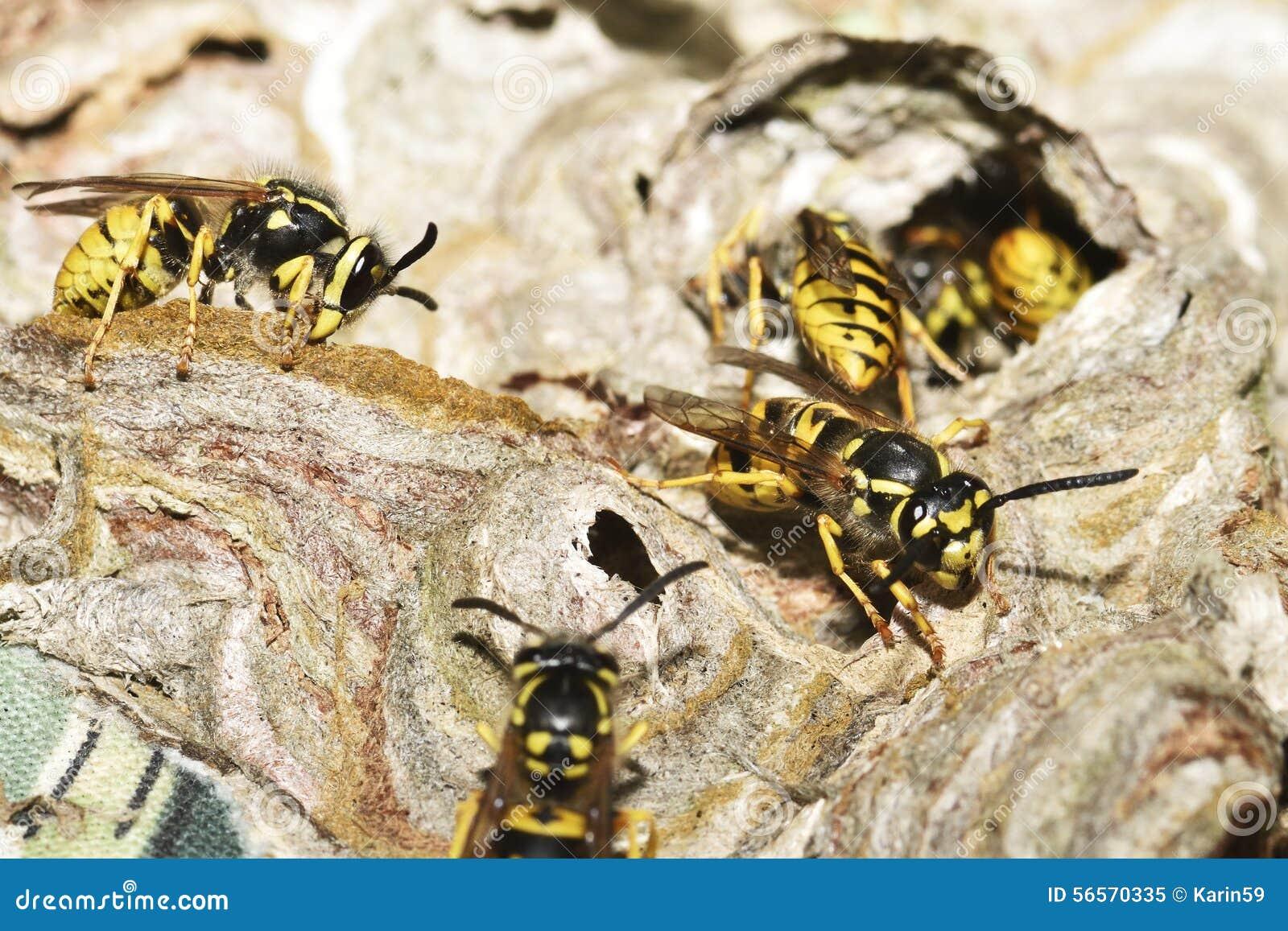 Download Ευρωπαϊκή σφήκα στοκ εικόνα. εικόνα από εργαζόμενος, bipeds - 56570335