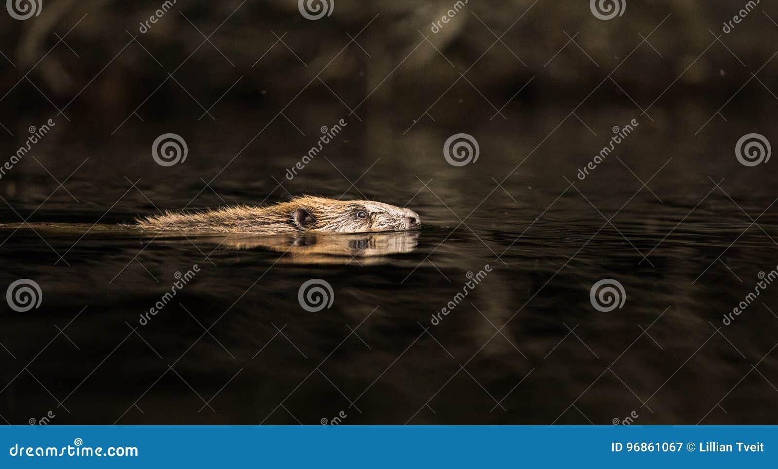 Ευρωπαϊκός κάστορας, ίνα καστόρων, που κολυμπά στο μαύρο νερό