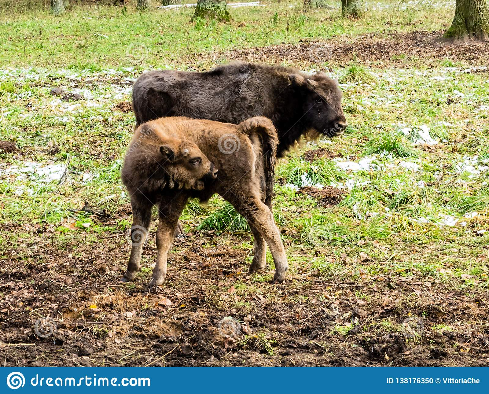 Ευρωπαϊκός bison bonasus βισώνων, νέα ζώα, aurochs στο δάσος