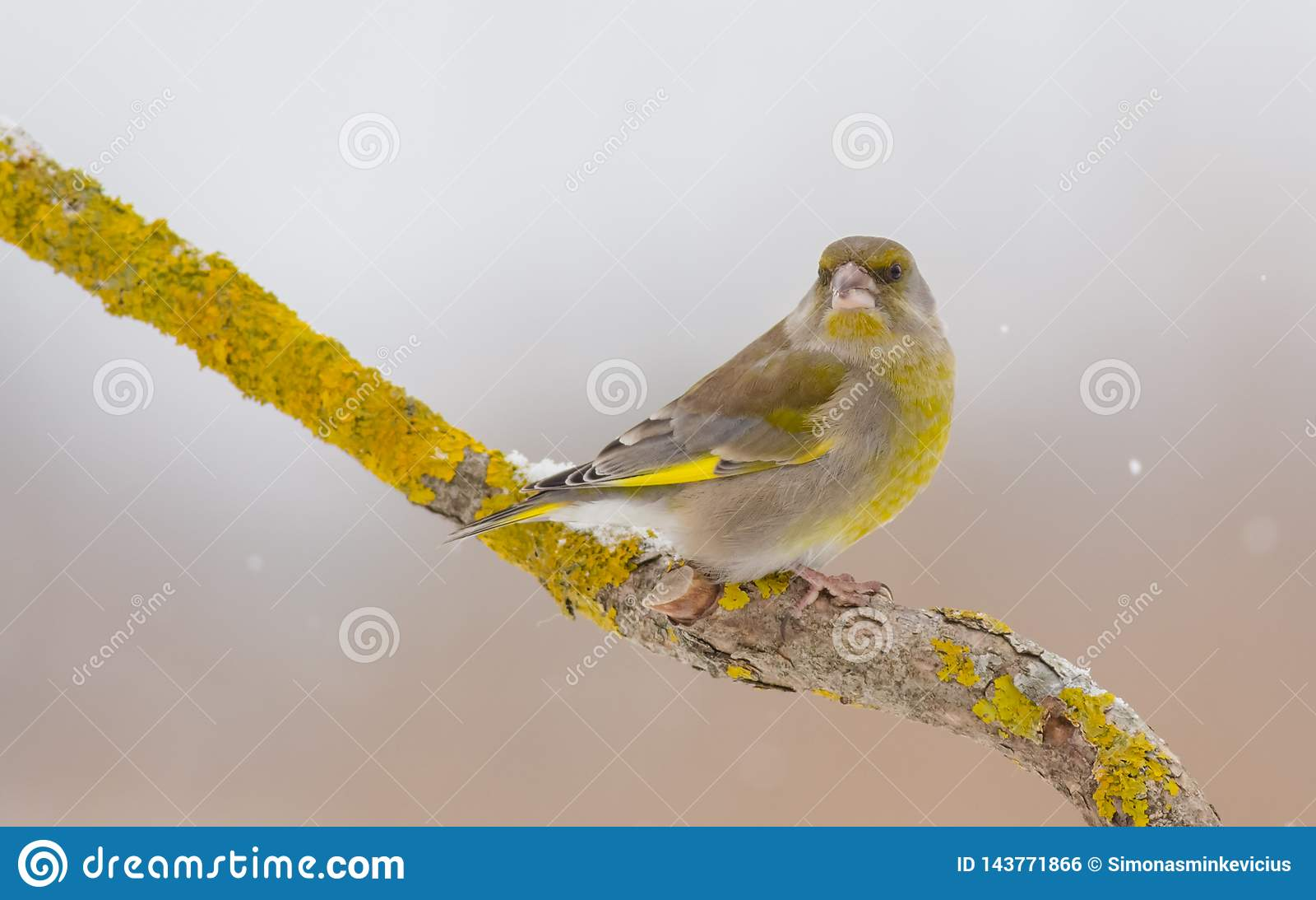 Ευρωπαϊκό greenfinch - chloris Chloris