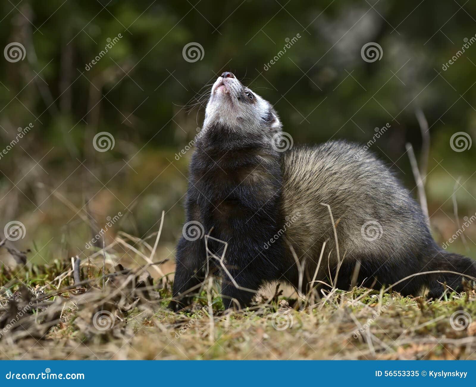 Download ευρωπαϊκό polecat στοκ εικόνα. εικόνα από δάσος, άγριος - 56553335