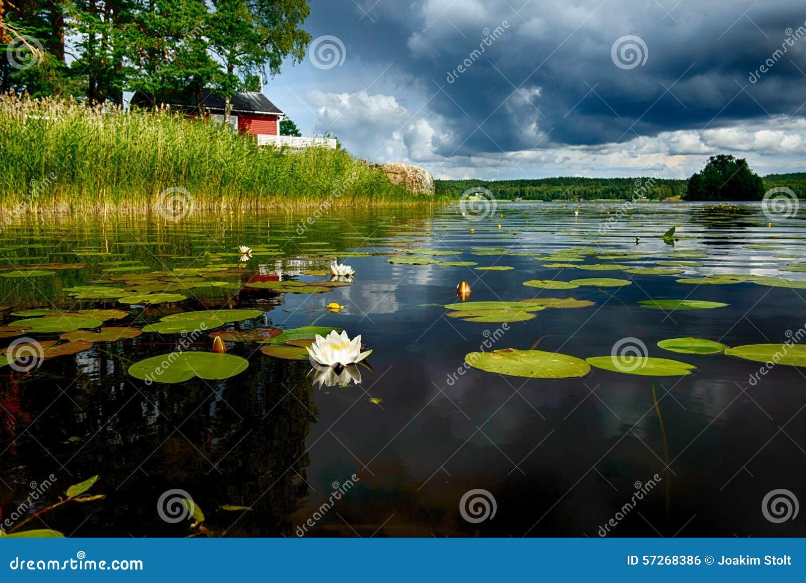 ευρωπαϊκό waterlily λευκό