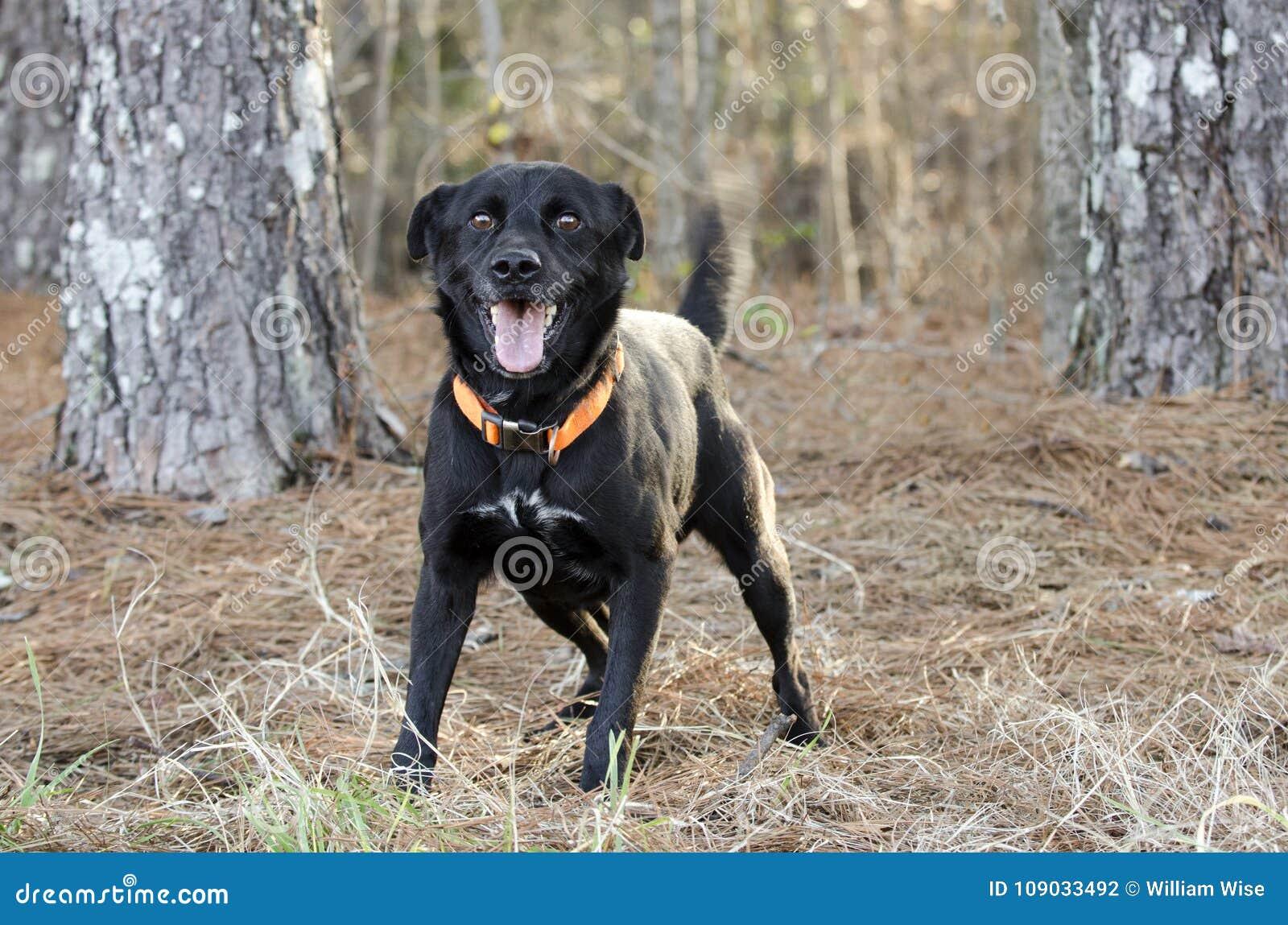Ευτυχές μαύρο σκυλί φυλής του Λαμπραντόρ μικτό Feist με το πορτοκαλί περιλαίμιο