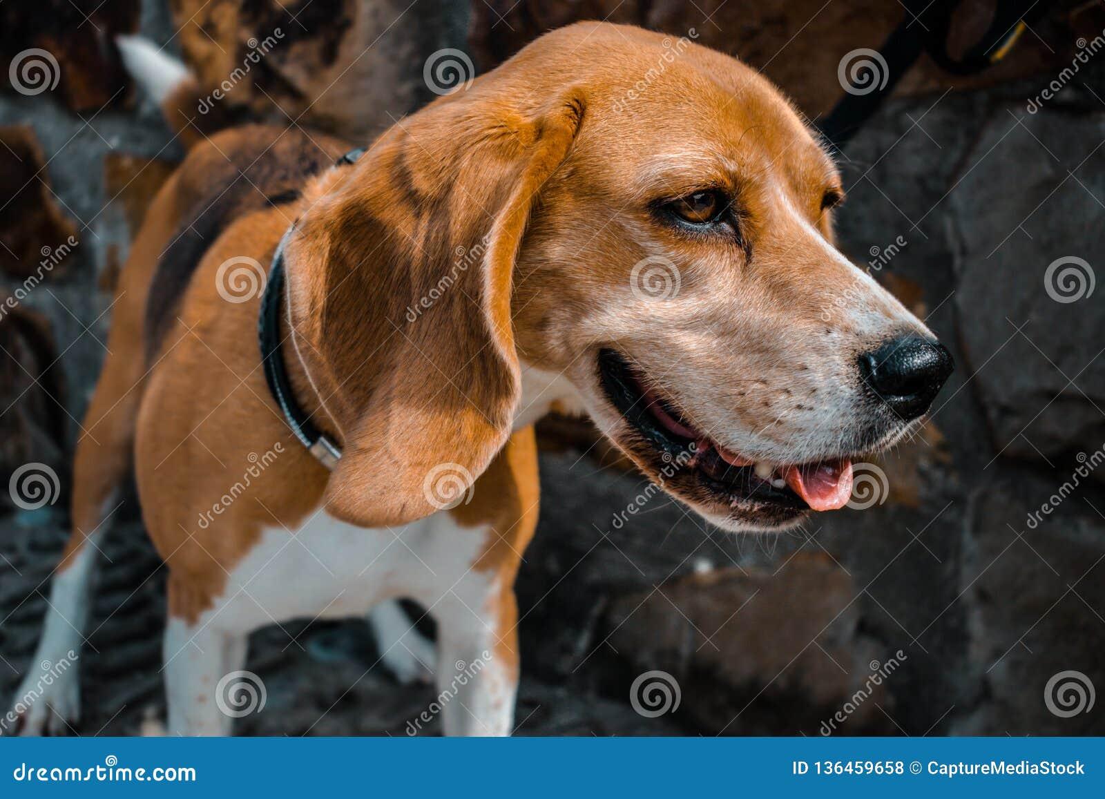 Ευτυχές χαμόγελο προσώπου σκυλιών λαγωνικών Υπόβαθρο τοίχων βράχων