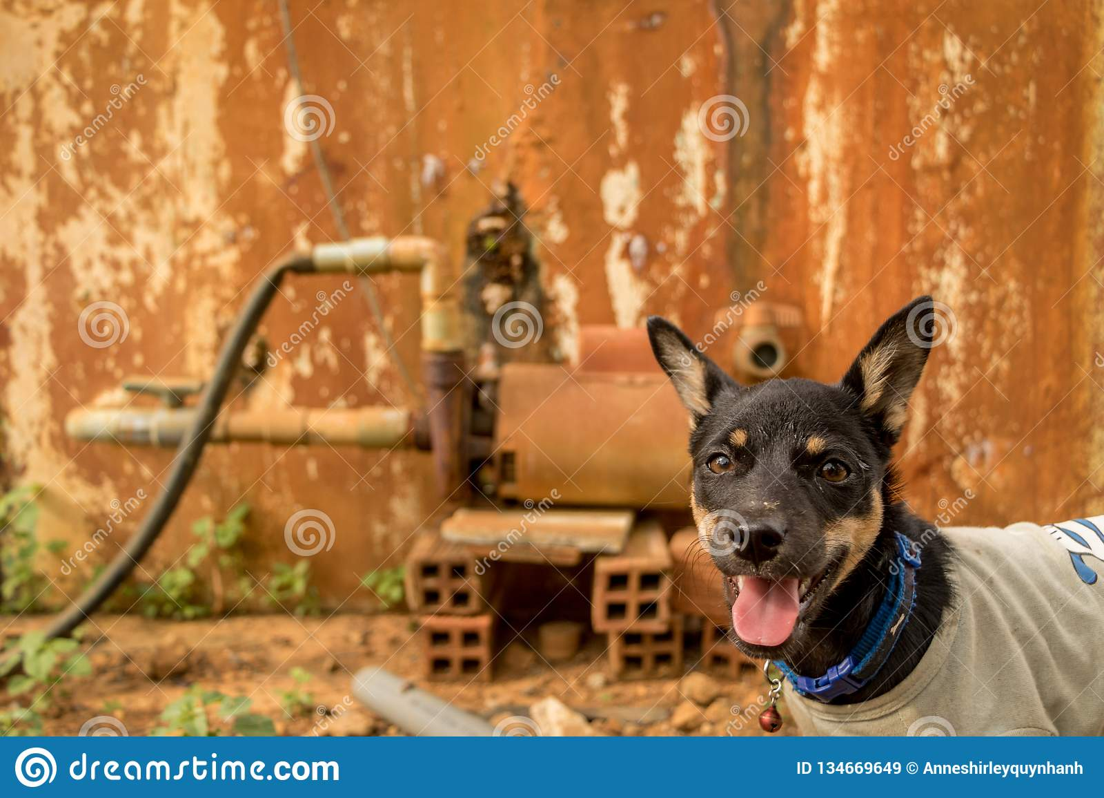 Ευτυχής λίγο κουτάβι με το σκυλί γλωσσών έξω - Pet που φορά την μπλούζα - με το περίεργο πρόσωπο - εκλεκτής ποιότητας ζωηρόχρωμο
