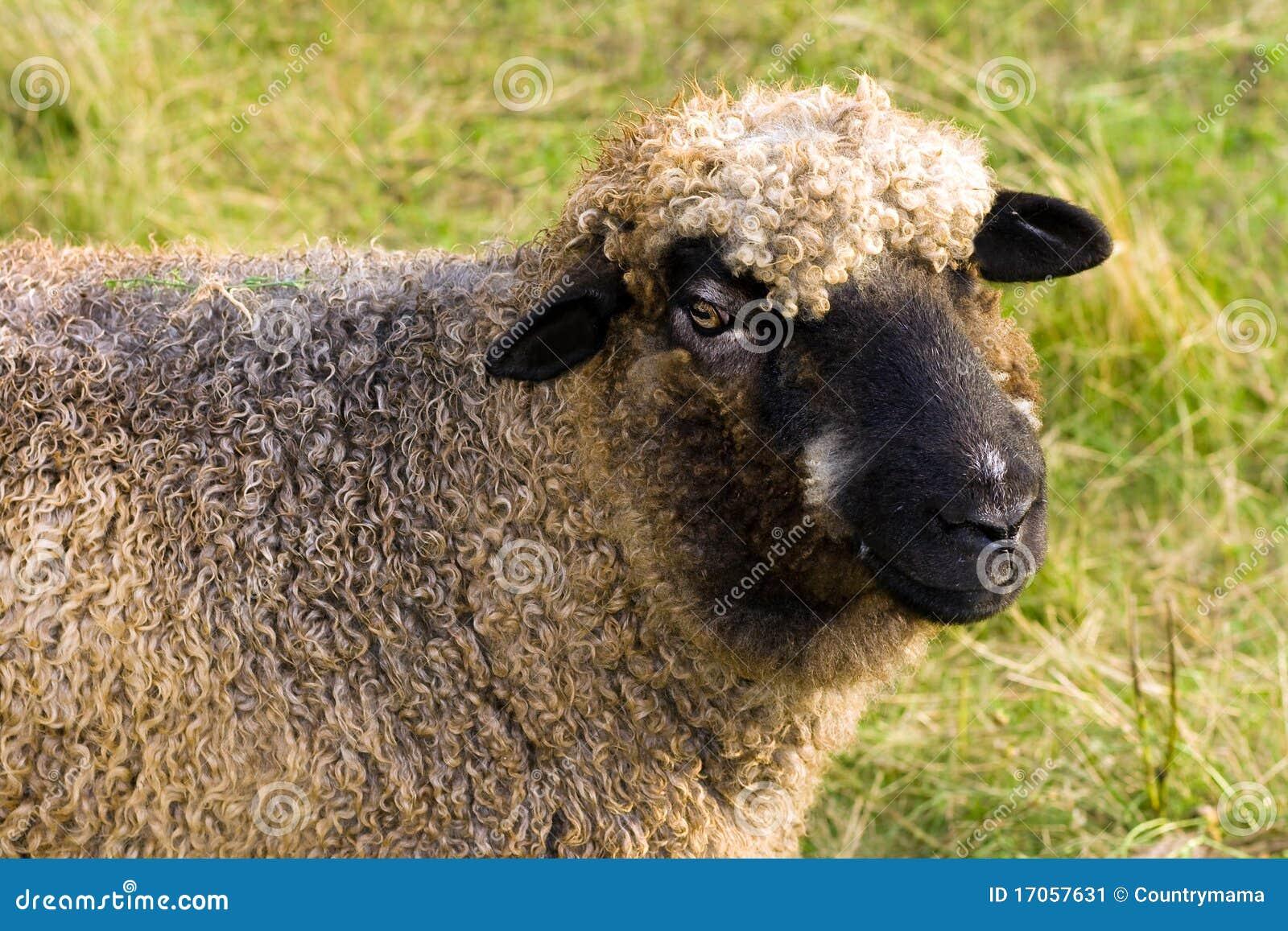 ευτυχή πρόβατα