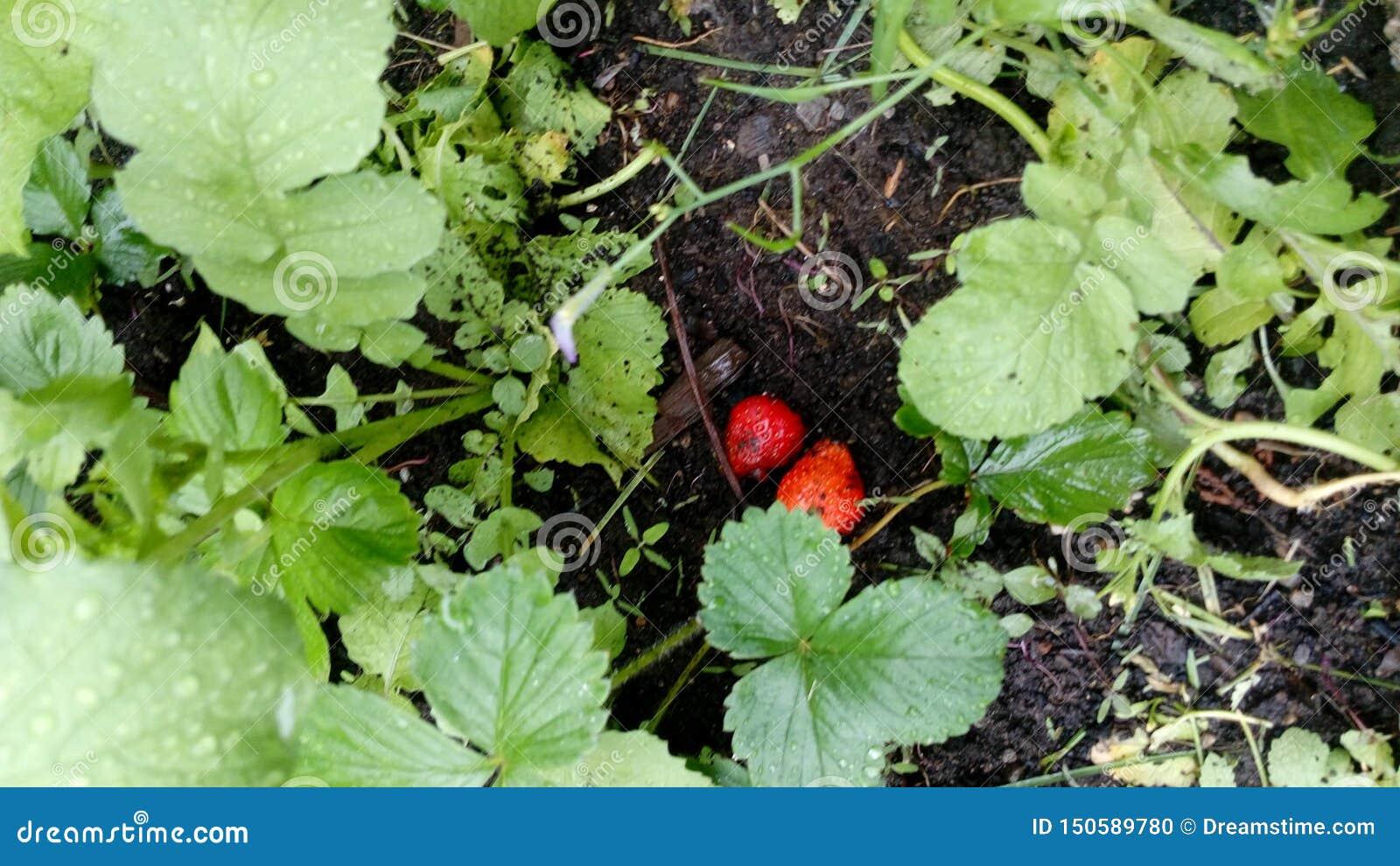Ευτυχή φρούτα κήπων η φράουλα εύνοιάς μου