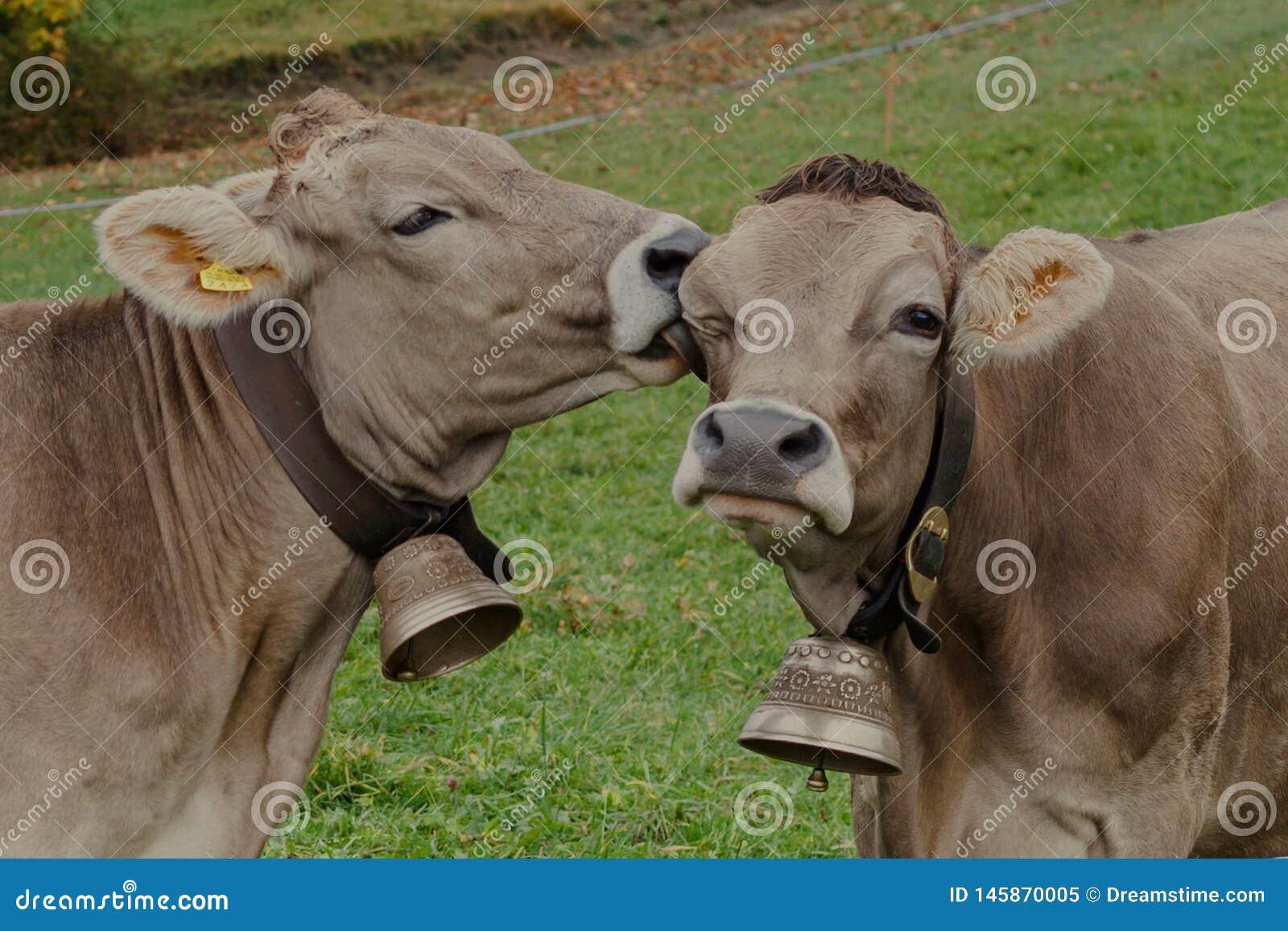 Ευτυχείς αγελάδες στην Ελβετία