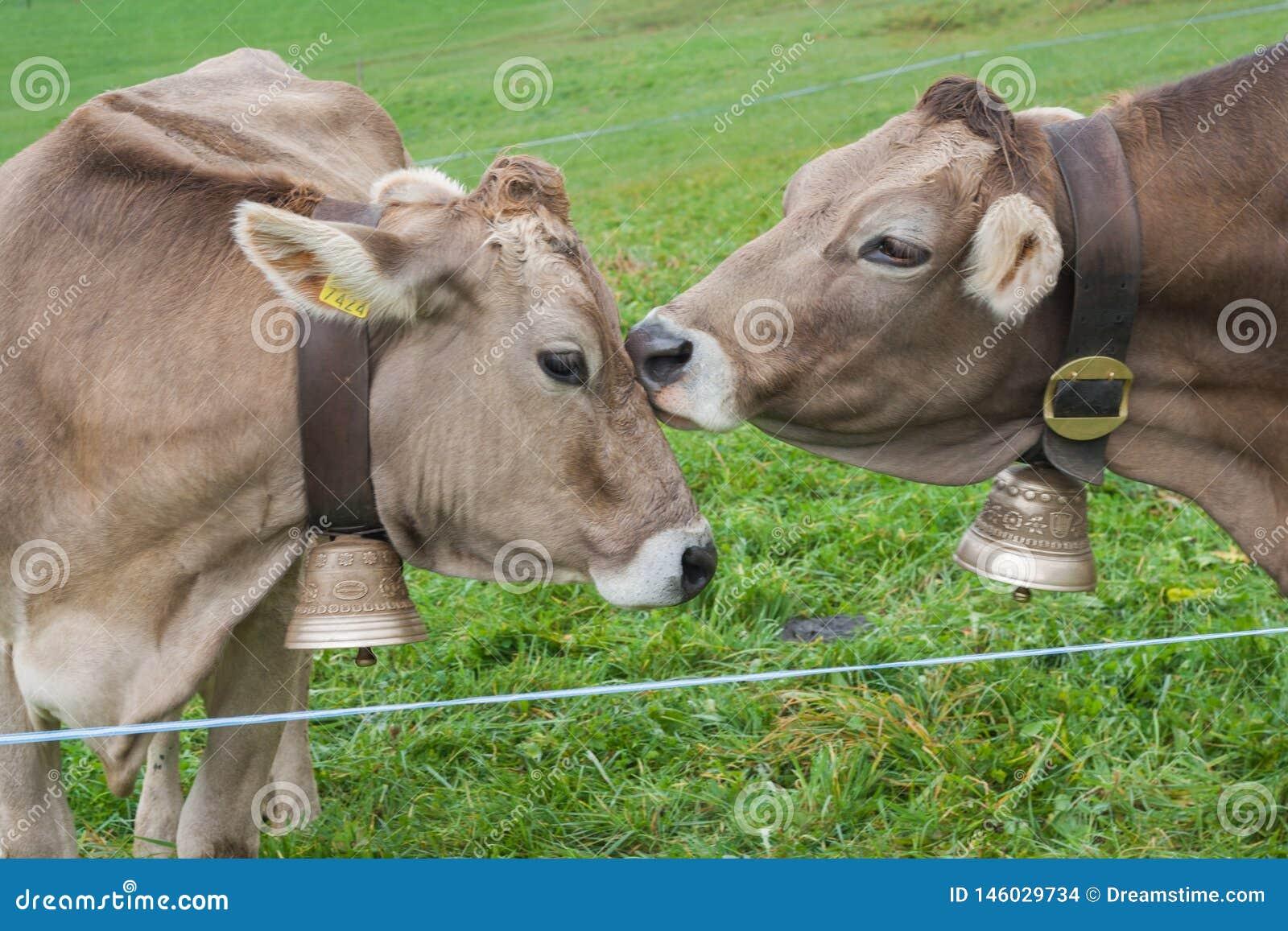 Ευτυχείς αγελάδες στην Ελβετία φιλί