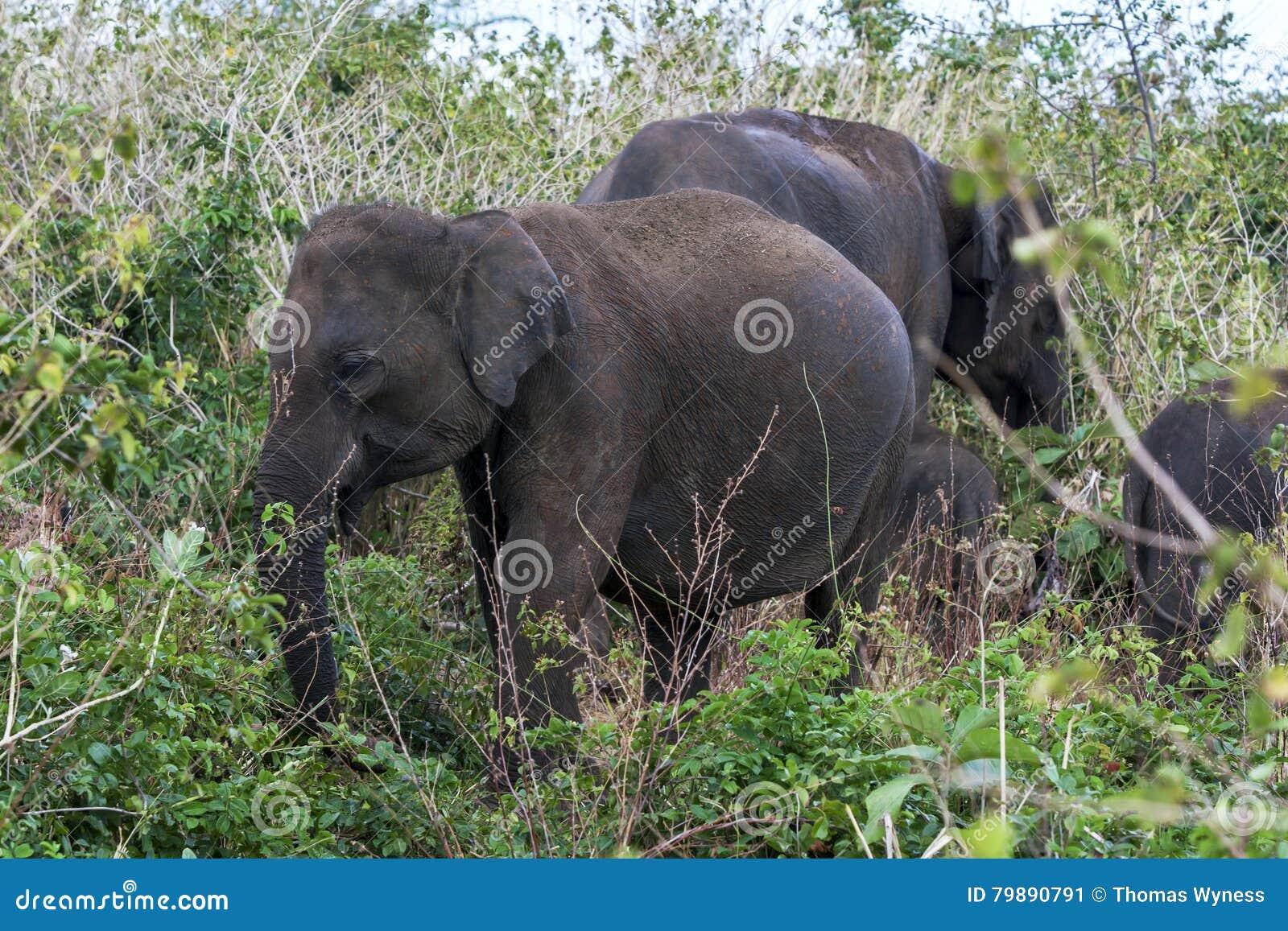 Ελέφαντες που βόσκουν μεταξύ του bushland στο εθνικό πάρκο Uda Walawe στη Σρι Λάνκα