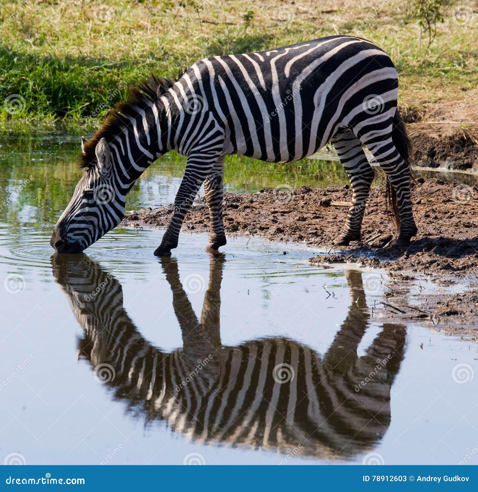 Ζέβες πόσιμο νερό από τον ποταμό Κένυα Τανζανία Εθνικό πάρκο serengeti Maasai Mara