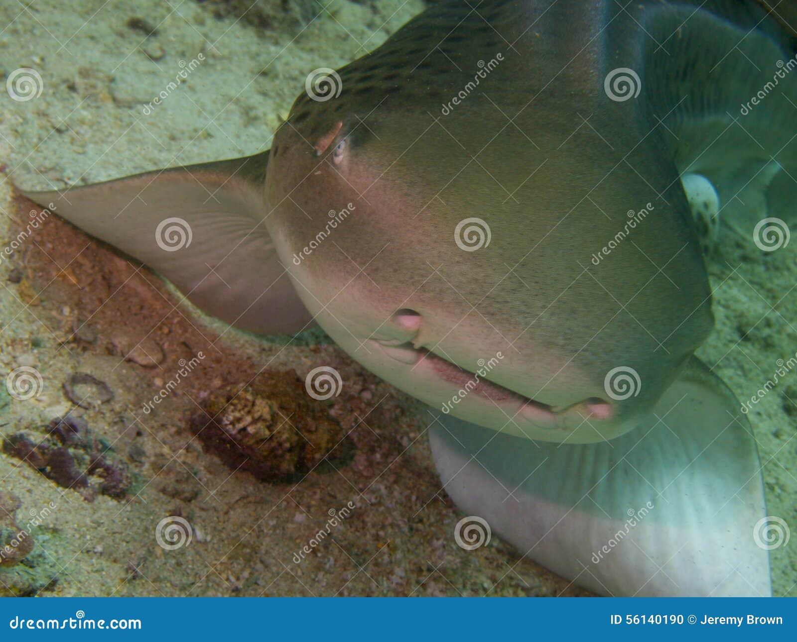 Ζέβρα καρχαρίας