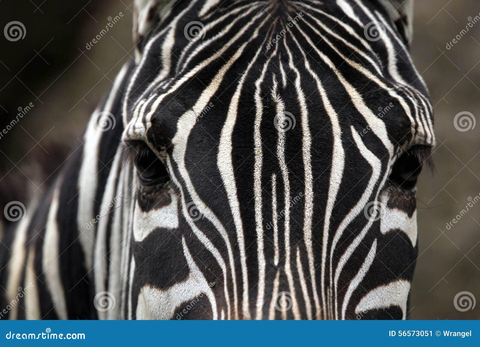 Download Ζέβρα (borensis Quagga Equus) σύσταση δερμάτων Maneless Στοκ Εικόνα - εικόνα από μακροεντολή, αφρικανικά: 56573051