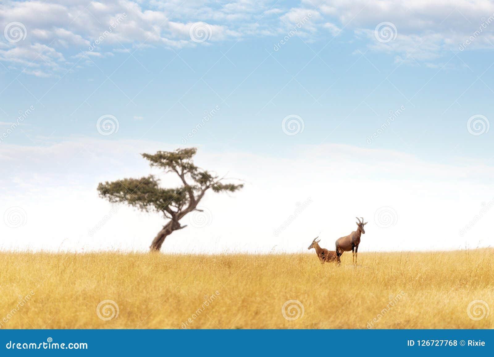 Ζευγάρι Topi και δέντρο ακακιών στο Masai Mara