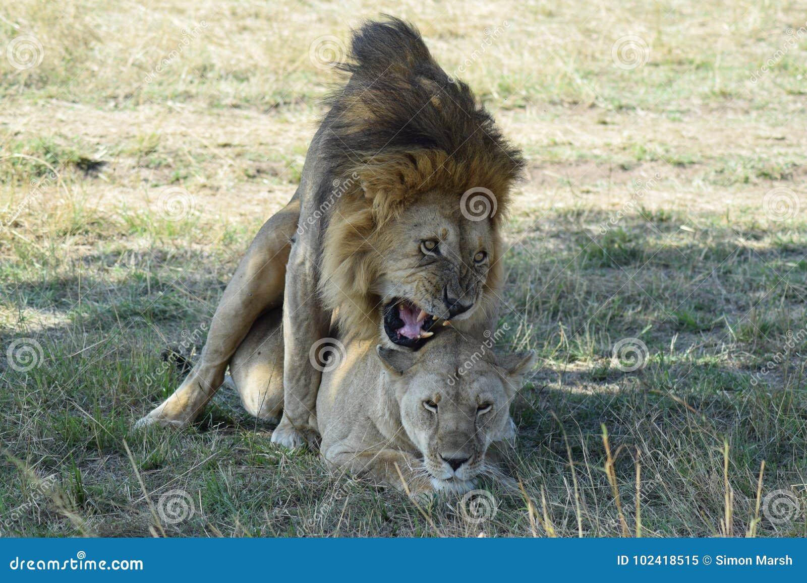 Ζευγάρωμα λιονταριών