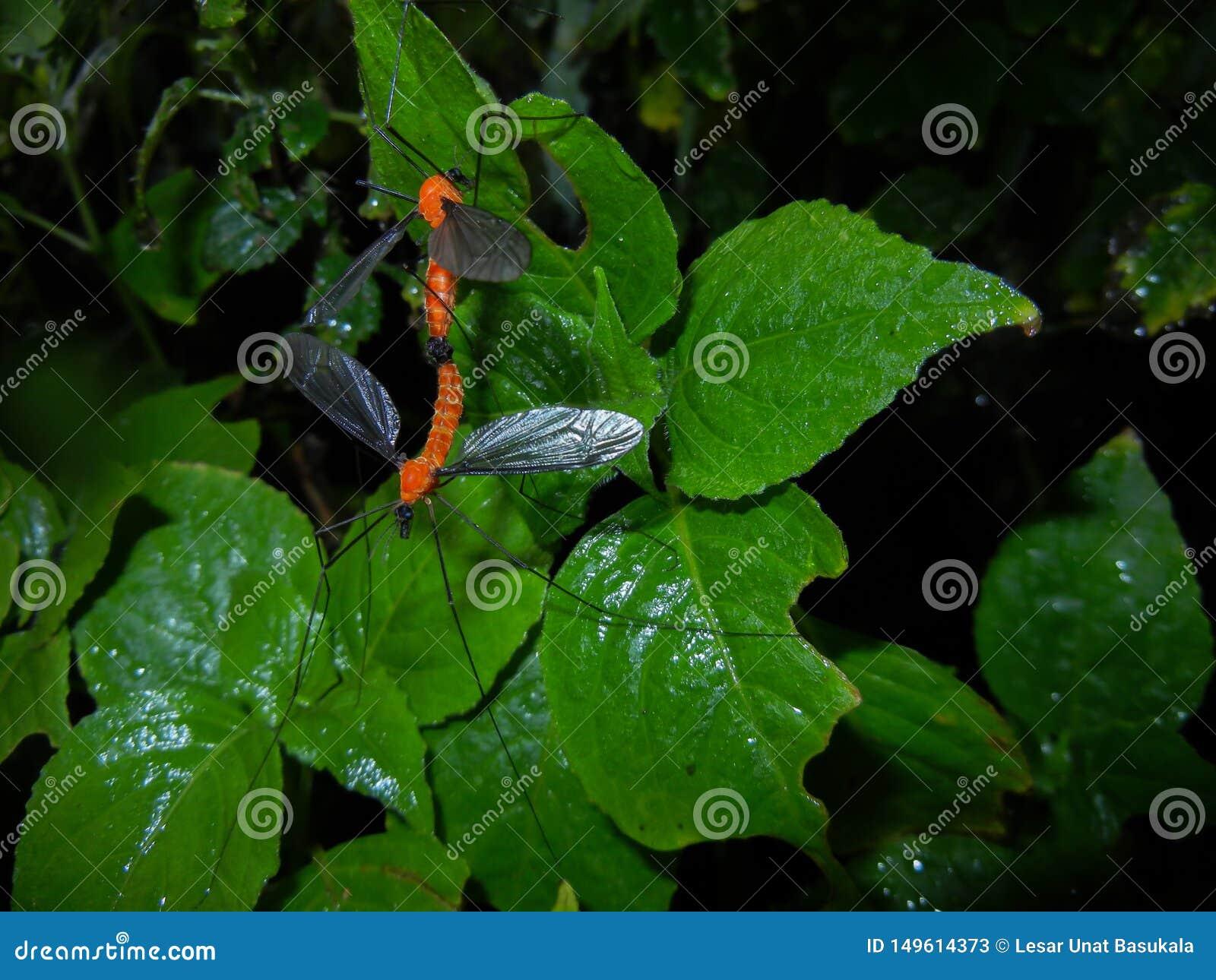 Ζευγάρωμα μυγών Cran, Insecta, δίπτερα, Tipulidae, ζευγαρώνοντας έντομο