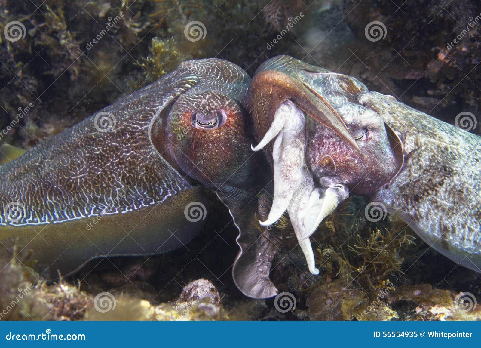 Download Ζευγάρωμα σουπιών στοκ εικόνα. εικόνα από κατάδυση, snorkeling - 56554935
