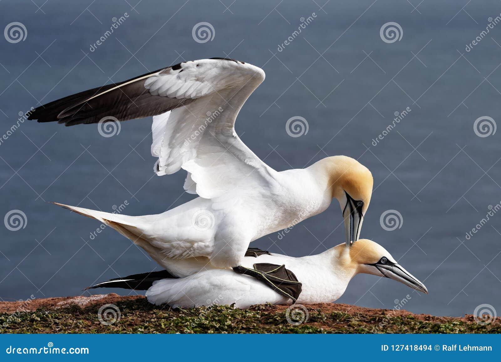 Ζευγάρωμα Gannets στους απότομους βράχους Helgoland