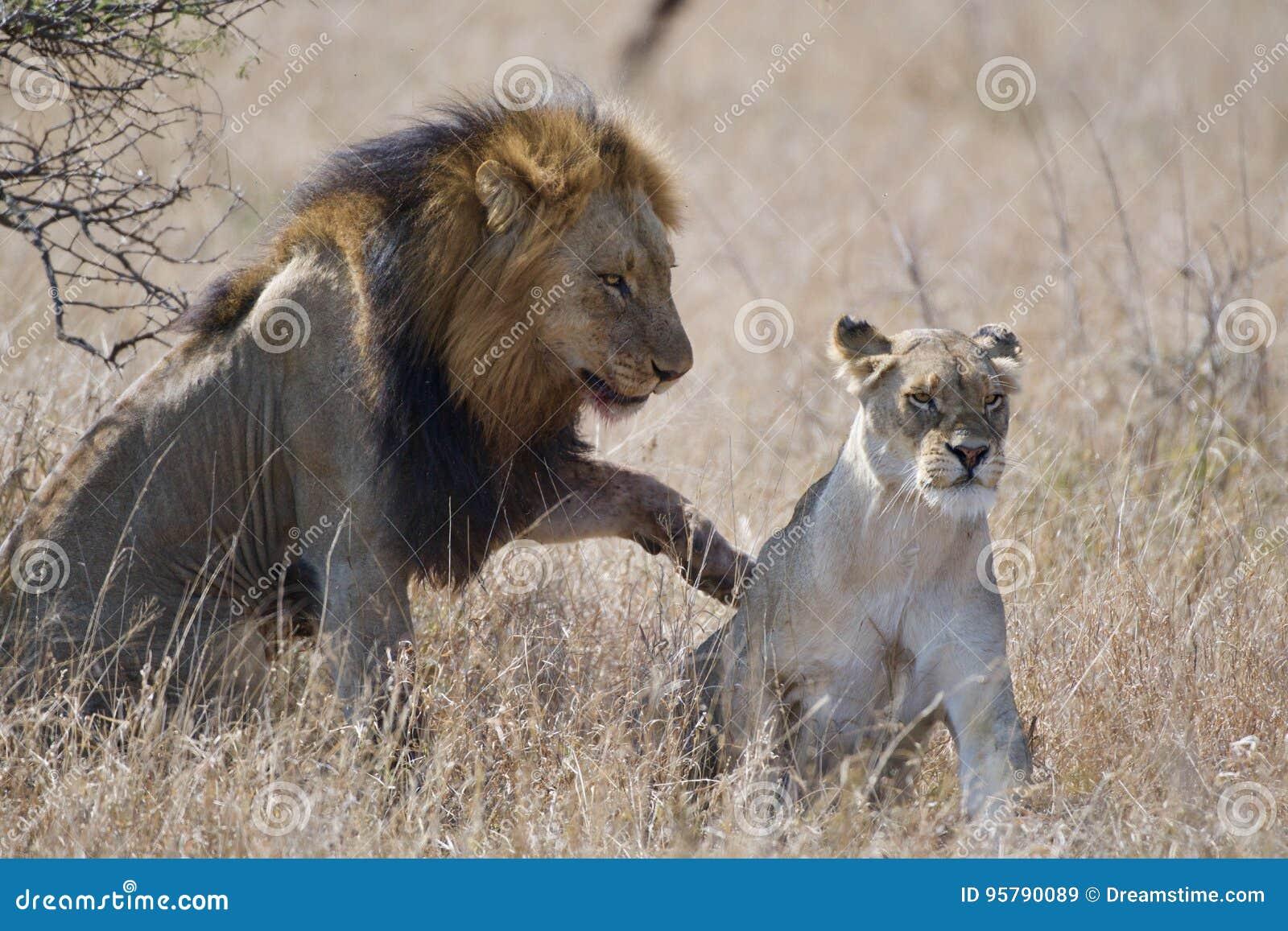 Ζευγαρώνοντας λιοντάρια