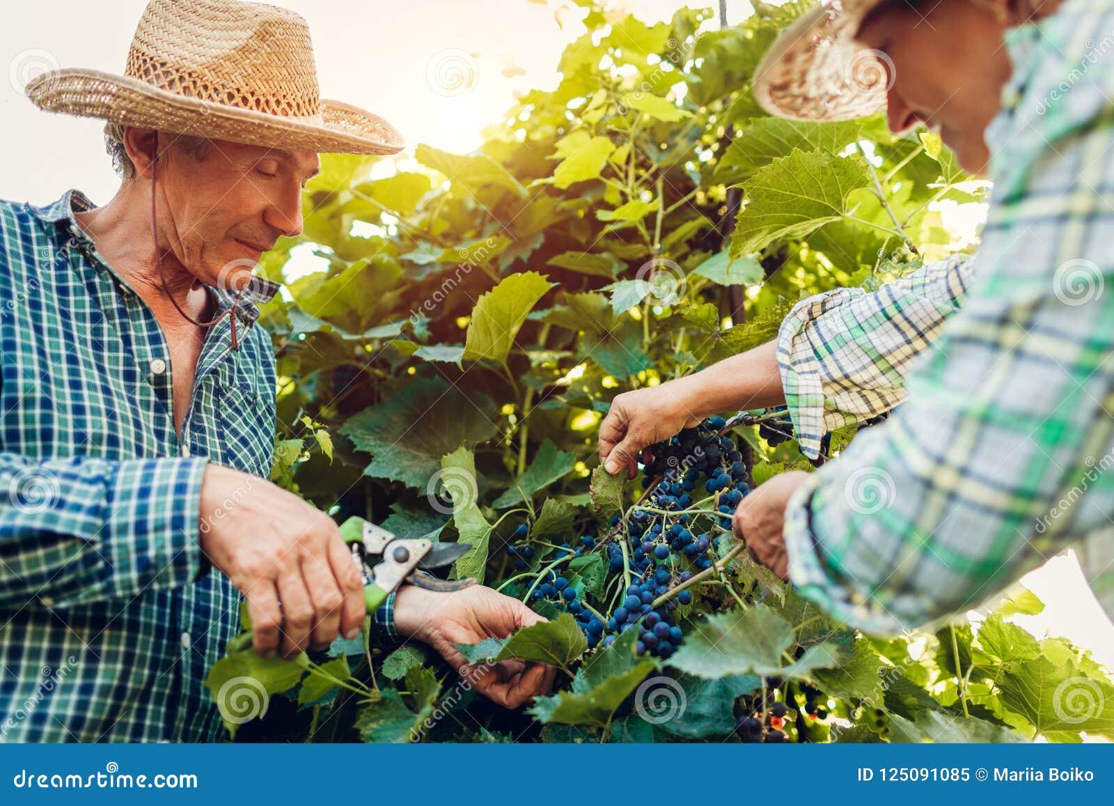 Ζεύγος των αγροτών που ελέγχουν τη συγκομιδή των σταφυλιών στο οικολογικό αγρόκτημα Ο ευτυχείς ανώτεροι άνδρας και η γυναίκα συλλ