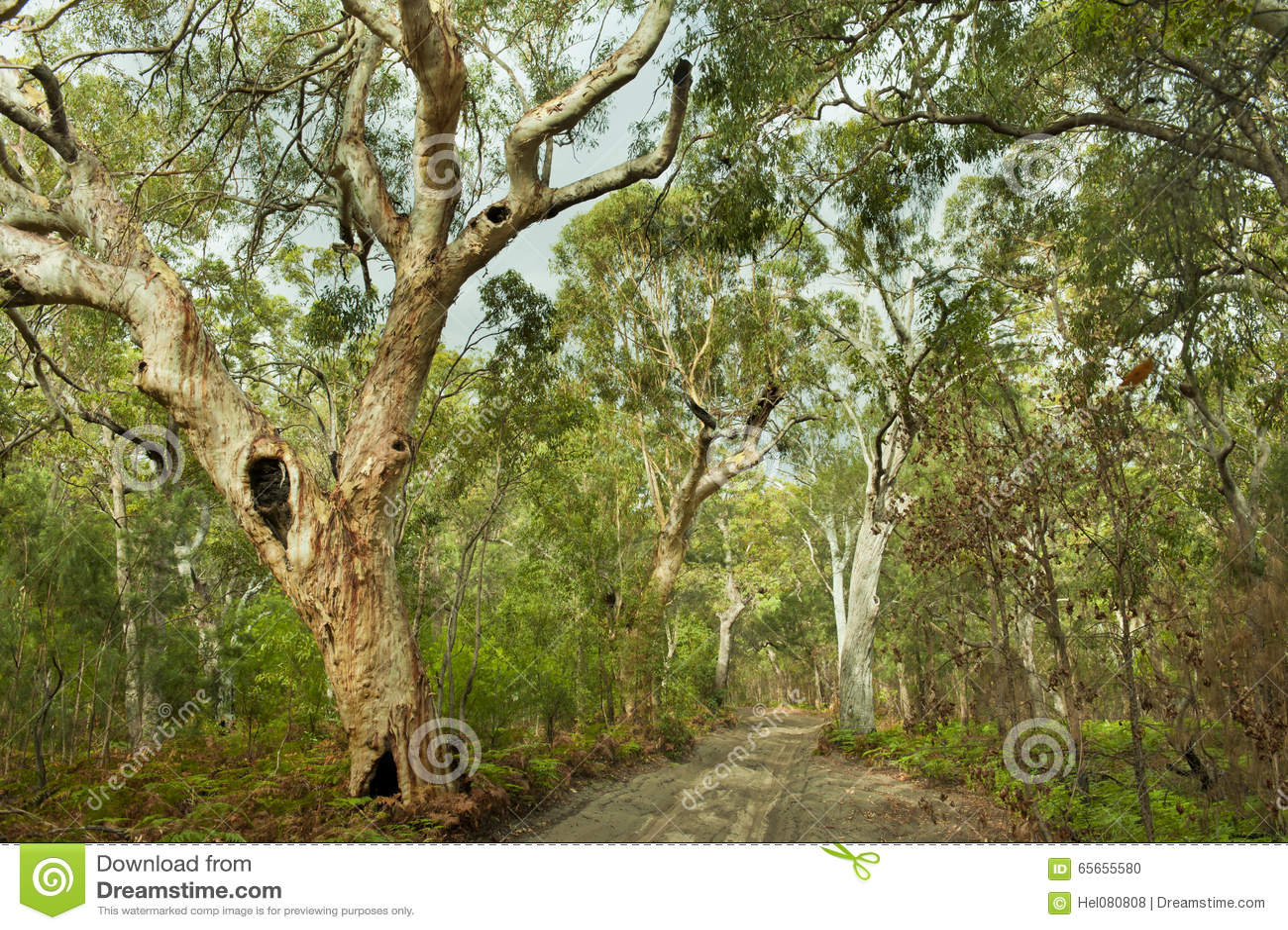 ζούγκλα νησιών δασών της Αυστραλίας fraser