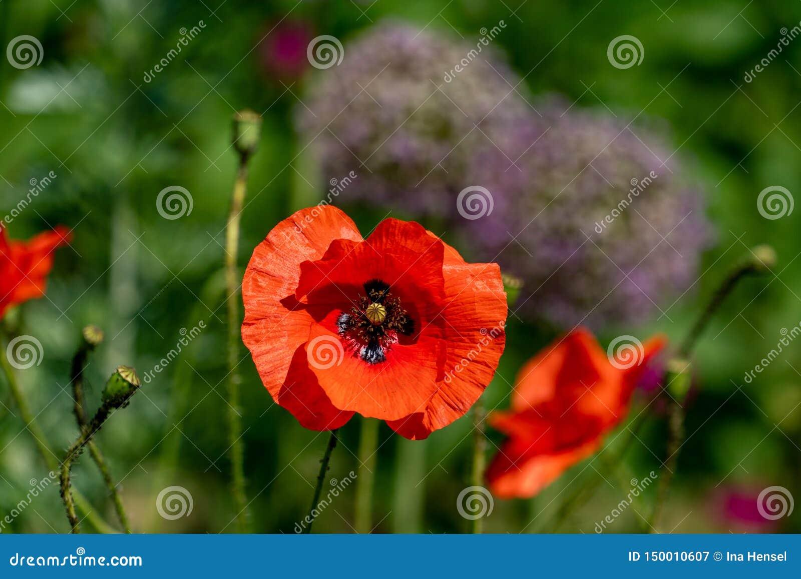 Ζωηρά κόκκινα papaver λουλούδια παπαρουνών rhoeas στην πλήρη ηλιοφάνεια