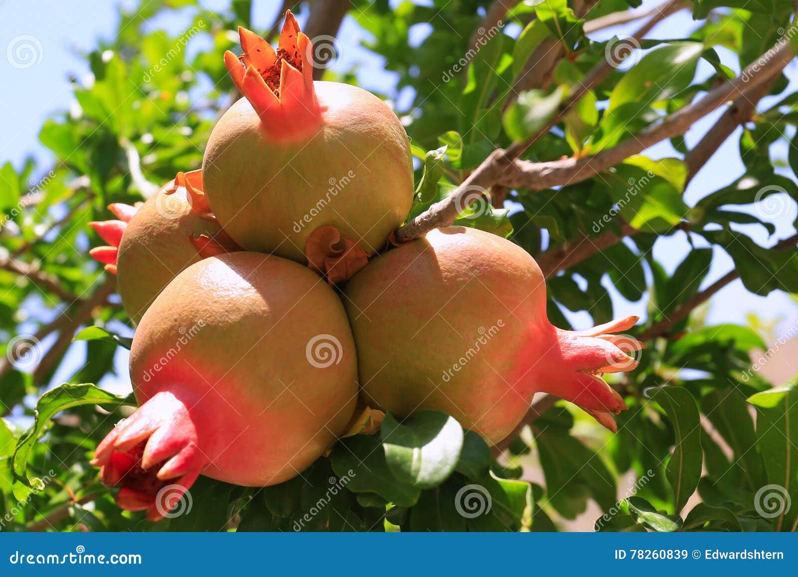 Ζωηρόχρωμα φρούτα ροδιών στον κλάδο δέντρων
