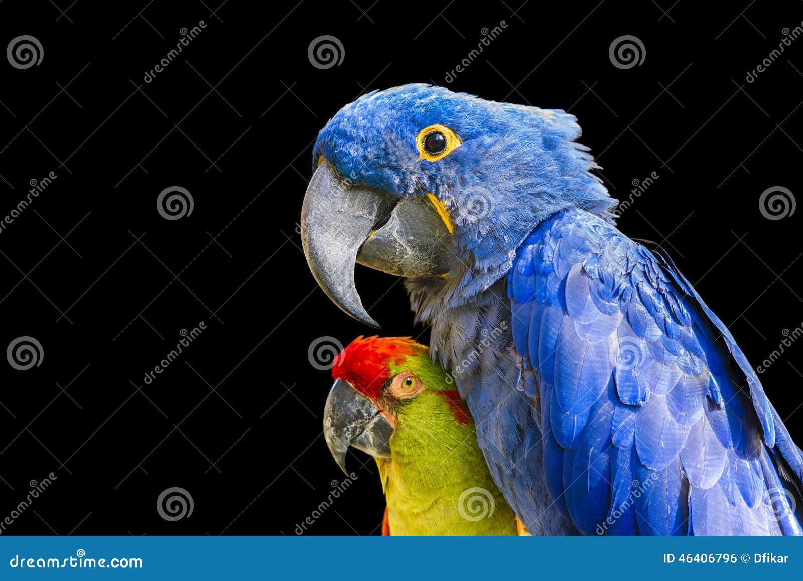 ζωηρόχρωμα macaws