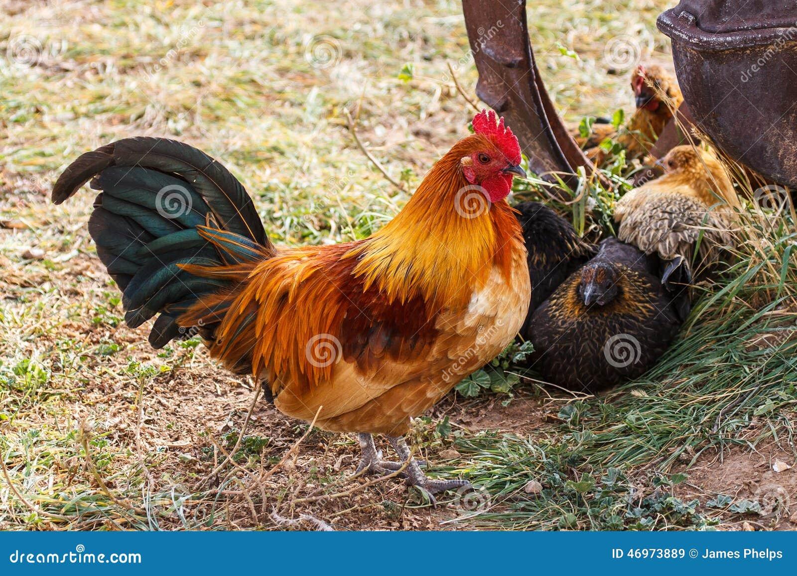 Ζωηρόχρωμος αγροτικός κόκκορας