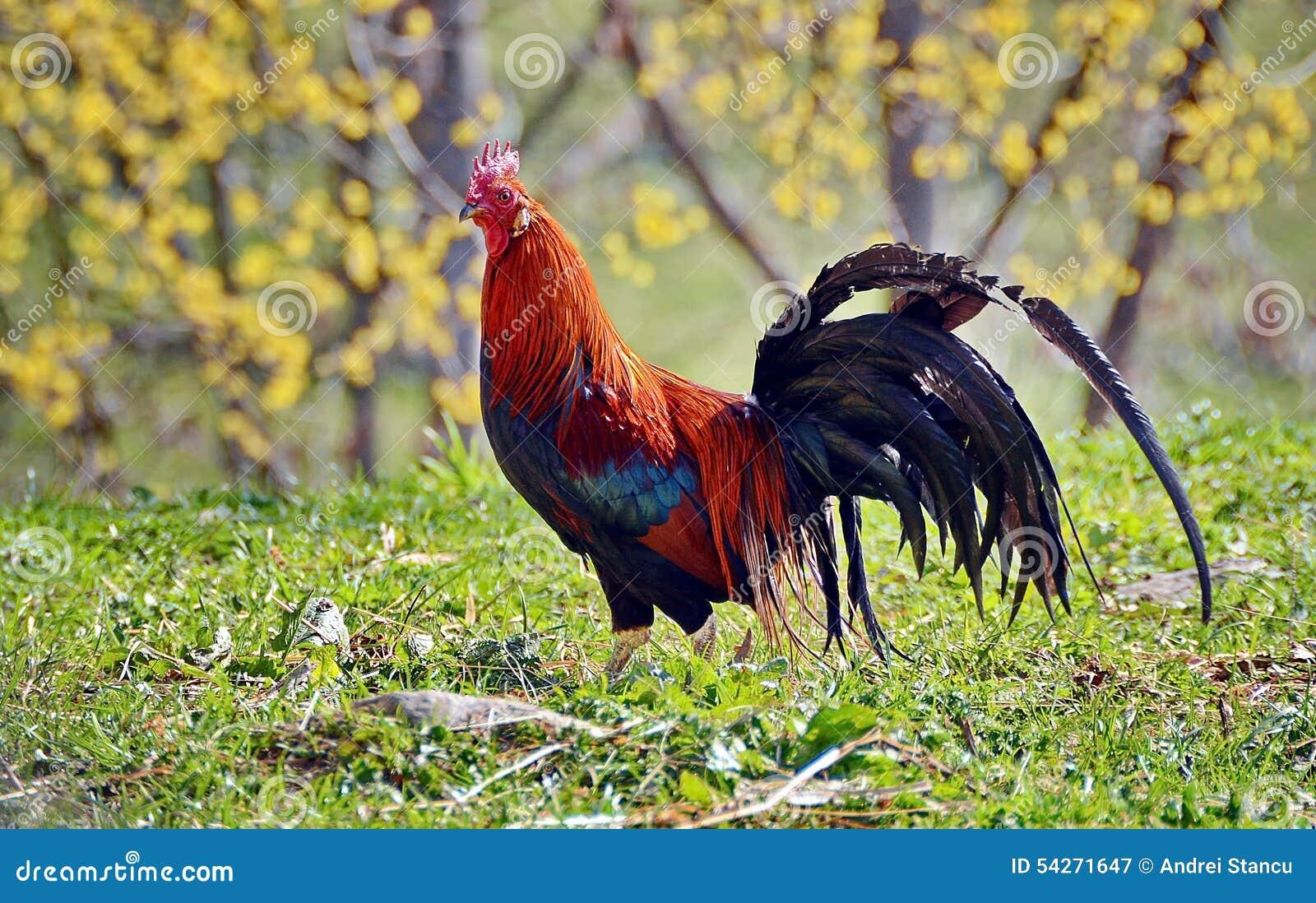 ζωηρόχρωμος κόκκορας