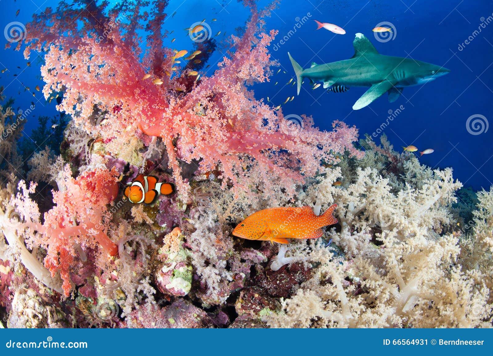 Ζωηρόχρωμος σκόπελος με τον καρχαρία και grouper
