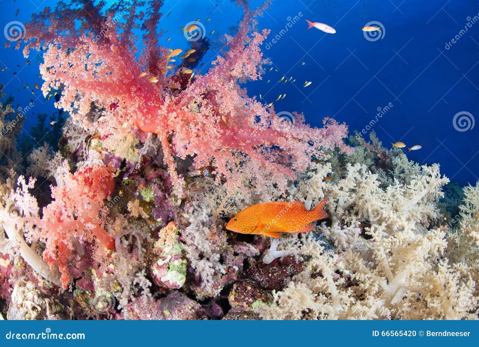 Ζωηρόχρωμος σκόπελος με grouper κοσμημάτων